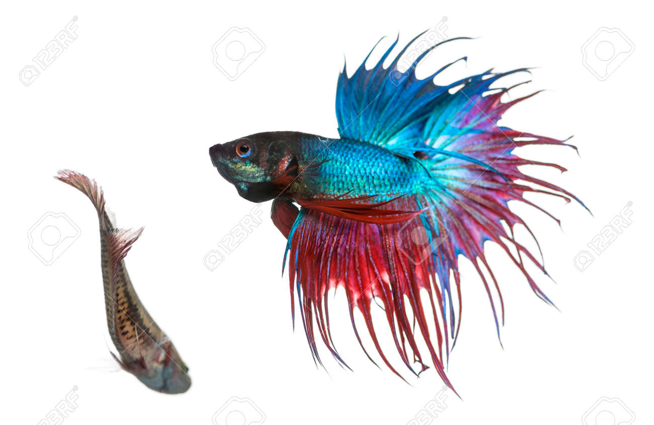 Male and female Siamese fighting fish in a courtship dance, Betta splendens, isolated on white Stock Photo - 25138315