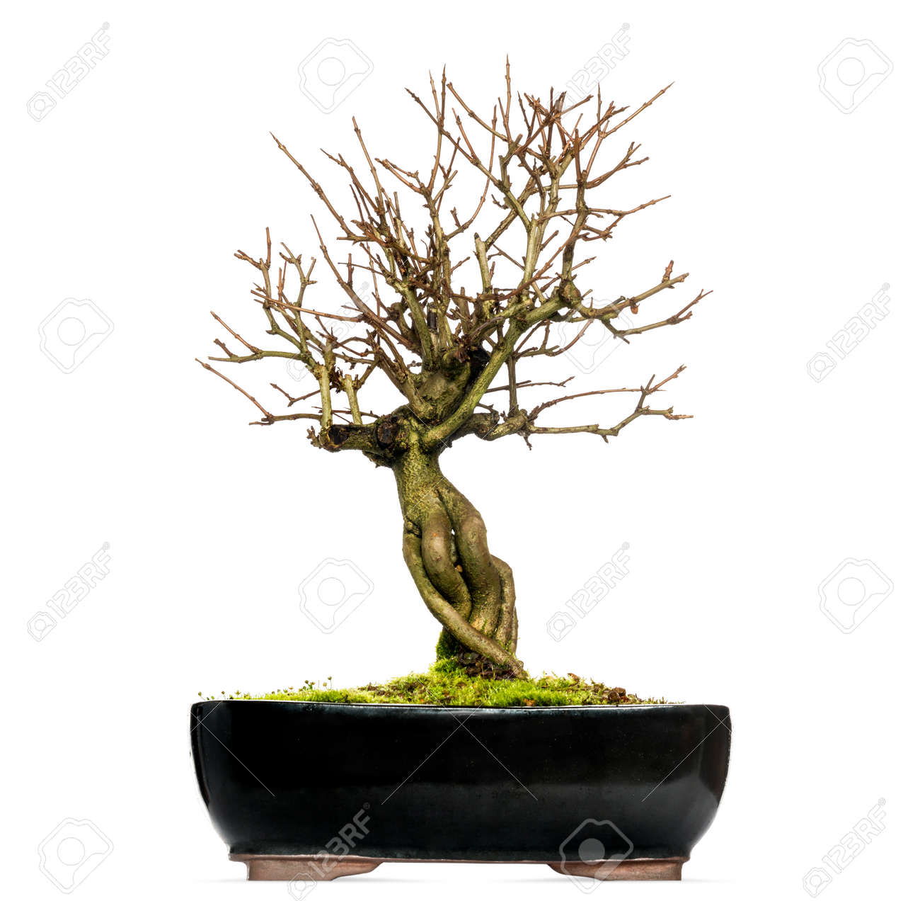 Pomegranate Bonsai Tree Punica Granatum Isolated On White Stock Photo Picture And Royalty Free Image Image 25553249