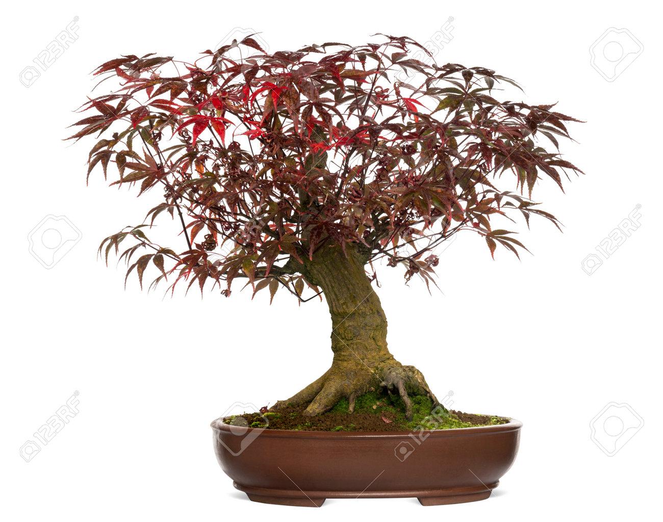 Japanese Maple Bonsai Tree Acer Palmatum Isolated On White Stock