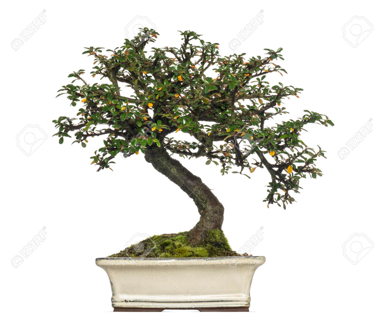Cotoneaster Horizontalis Bonsai Tree Isolated On White Stock Photo Picture And Royalty Free Image Image 25542627