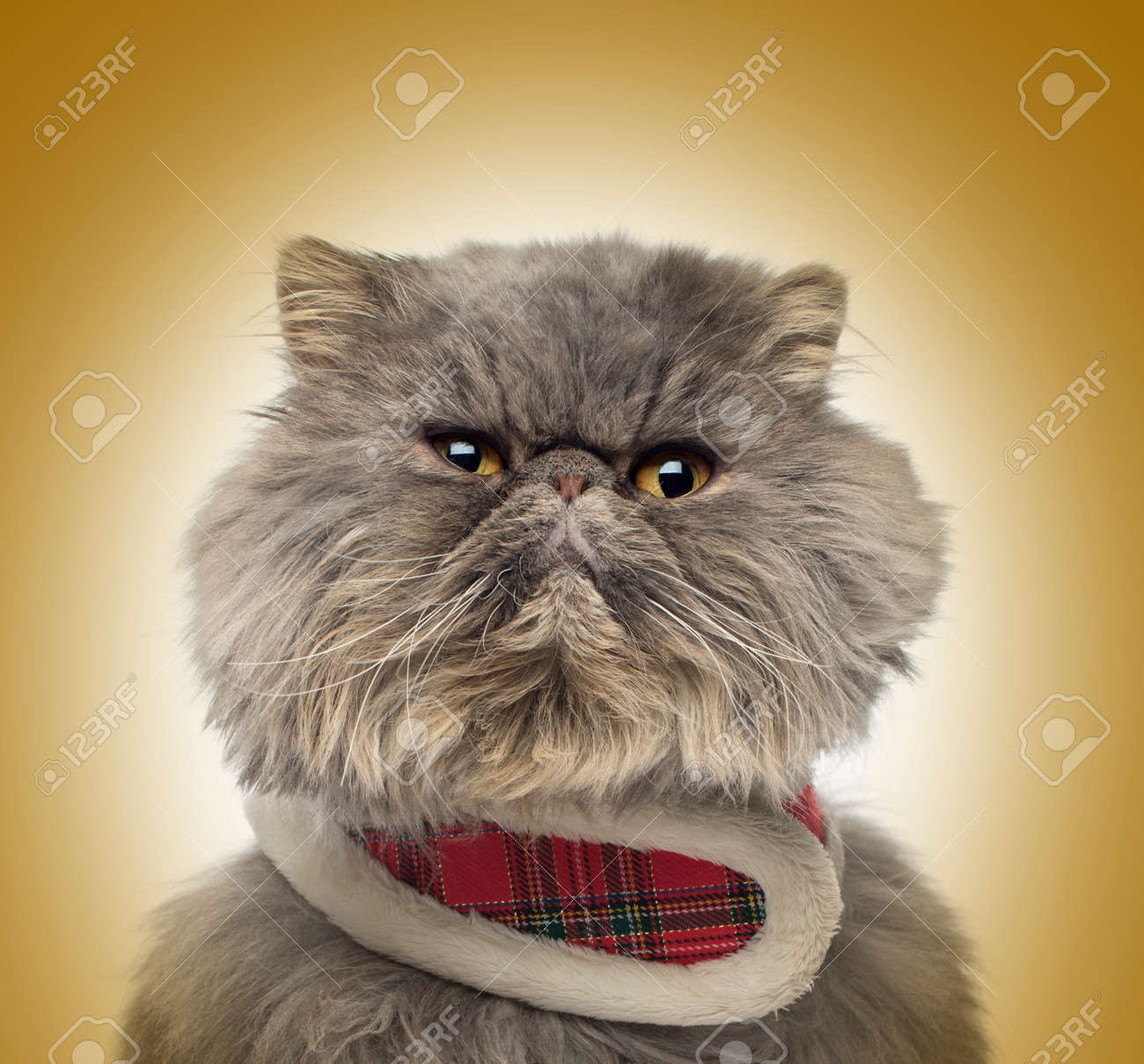 Front View A Grumpy Persian Cat Wearing A Tartan Harness