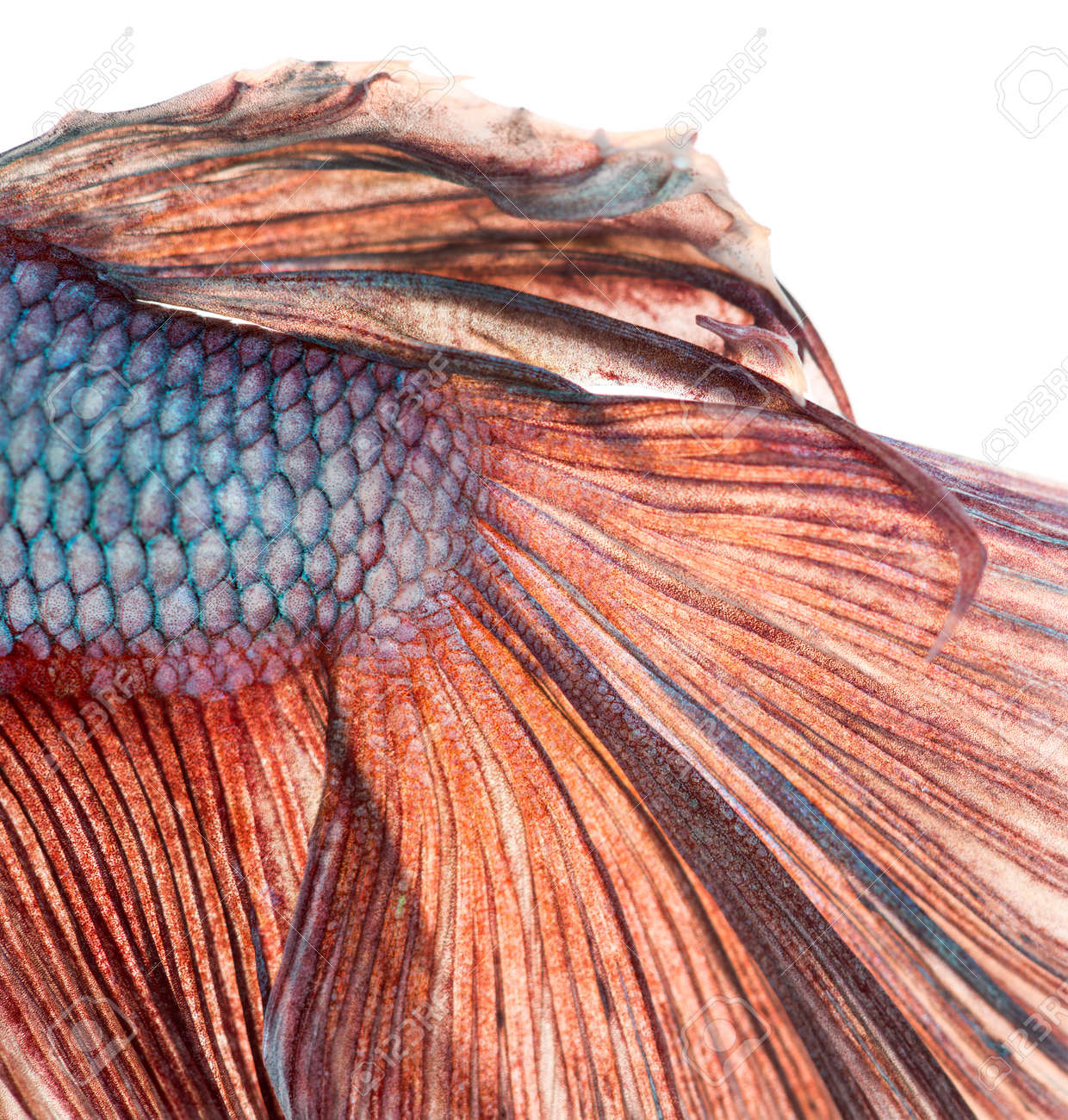 Close-up of a Siamese fighting fish's caudal fin, Betta splendens, isolated on white Stock Photo - 25983396