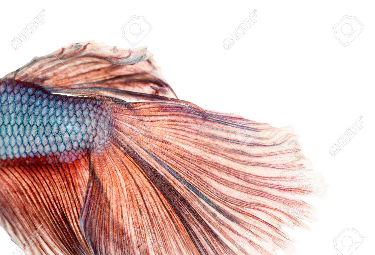 Close-up of a Siamese fighting fish's caudal fin, Betta splendens, isolated on white Stock Photo - 26002411