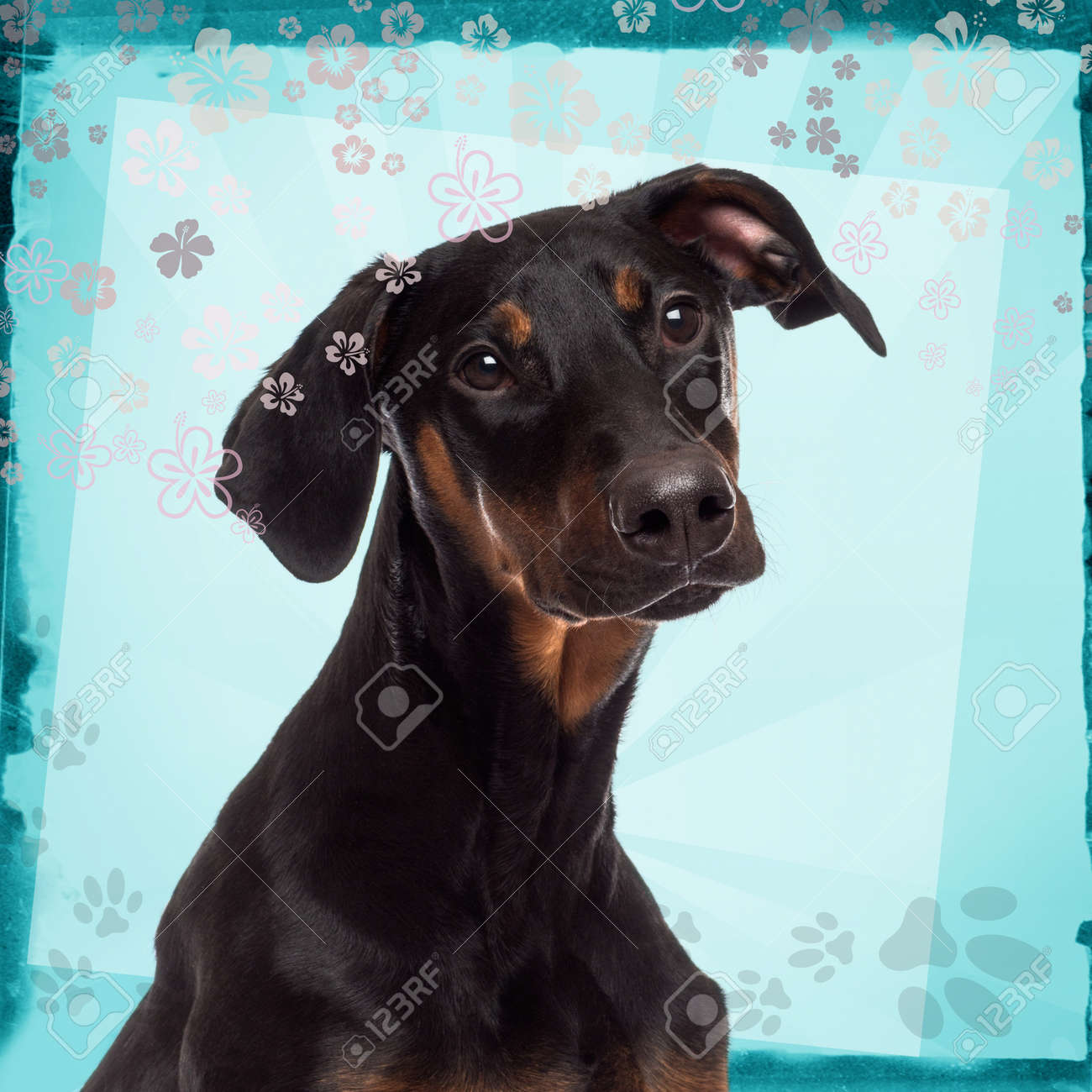 Close Up Of A Doberman Pinscher Puppy On A Blue Designed Background Stock Photo Picture And Royalty Free Image Image 26012412