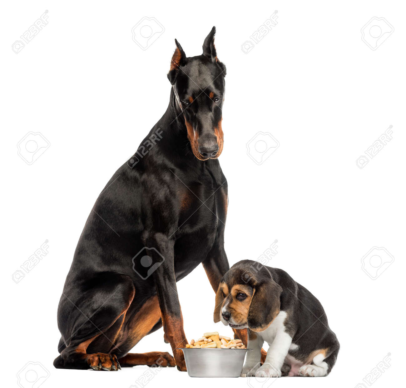 Doberman Pinscher Sittingand Looking Down At A Beagle Puppy Eating Stock Photo Picture And Royalty Free Image Image 27015776