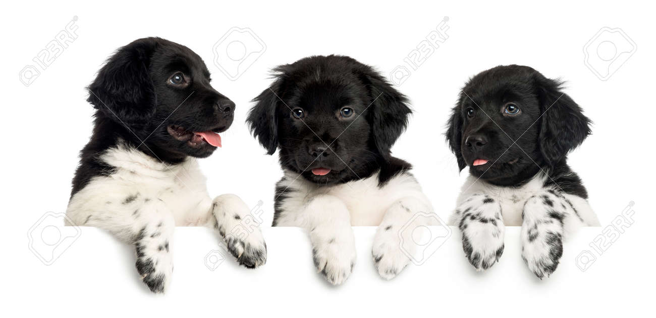 Three Stabyhoun Puppies Panting And Leaning On A White Board Stock
