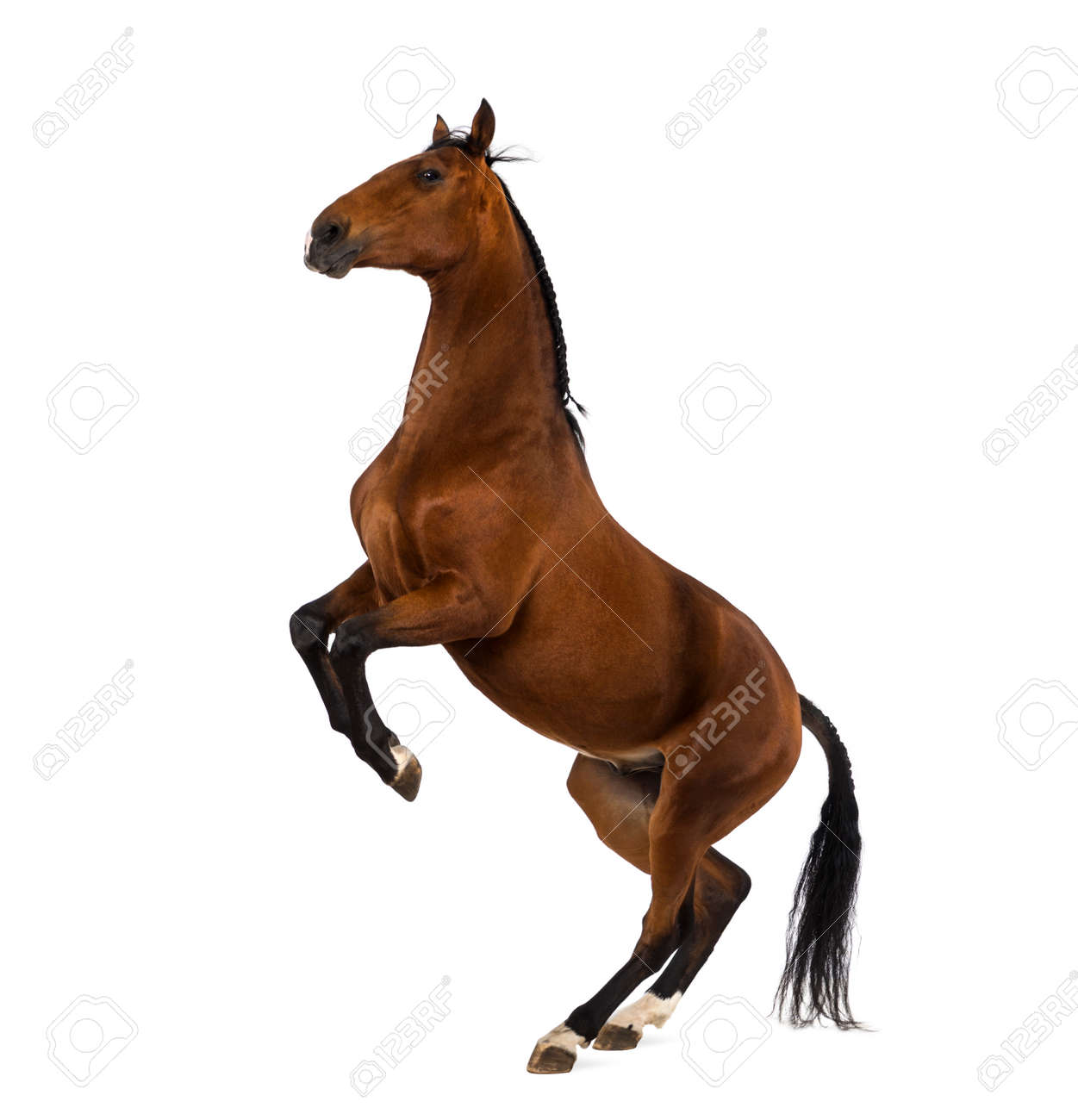 andalusian horse rearing stock photo picture and royalty free image