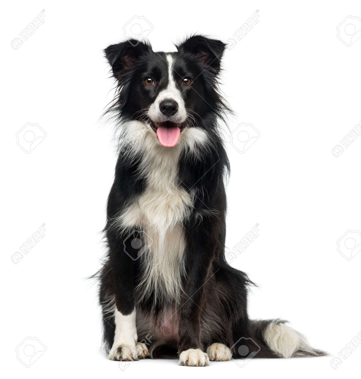 Border Collie (2 Years Old) Stock Photo, Picture And Royalty Free Image.  Image 36239241.