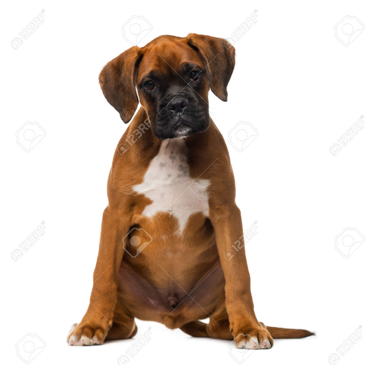 boxer puppy 3 months old stock photo picture and royalty free
