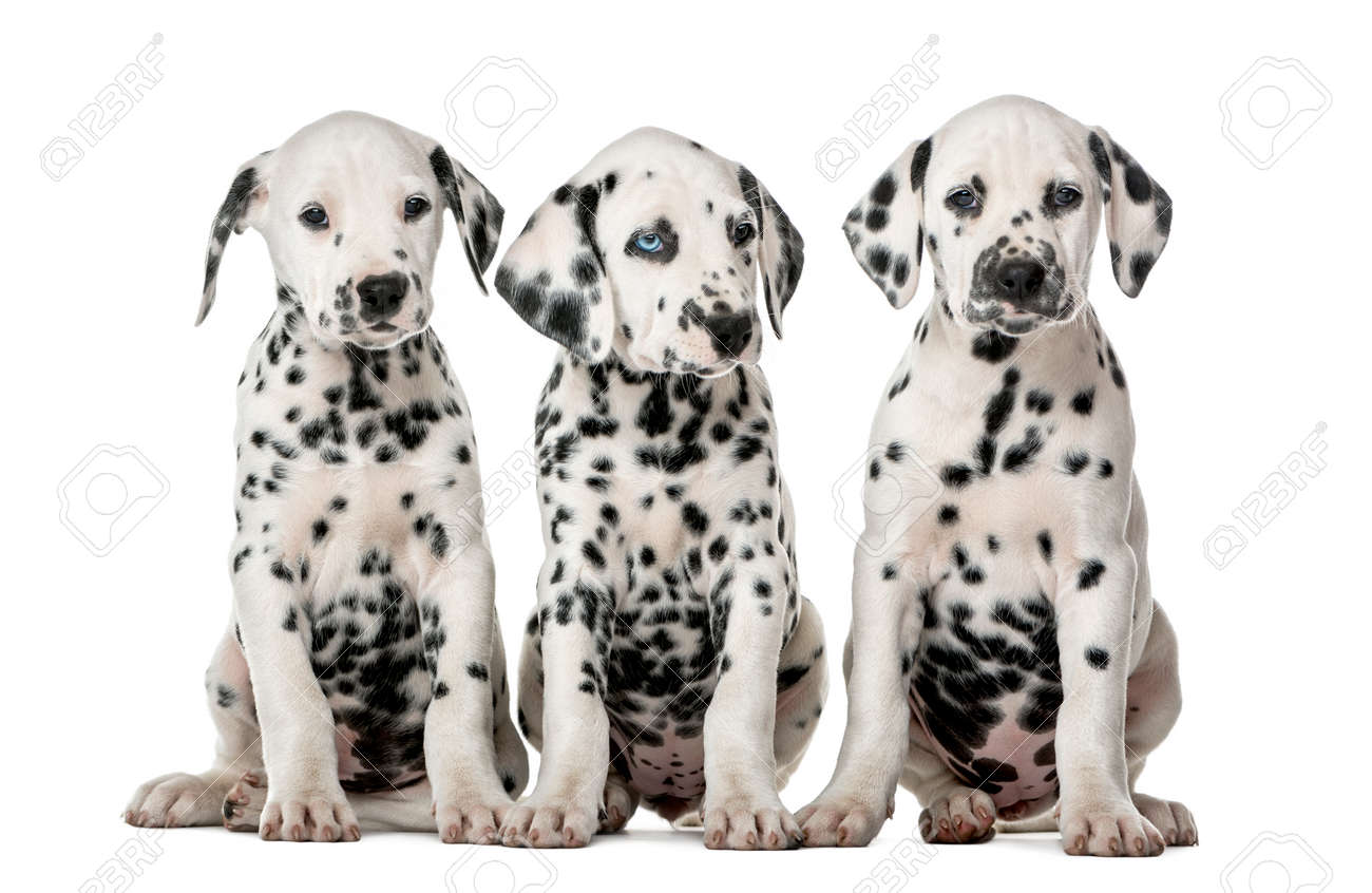 Three Dalmatian Puppies Sitting In Front Of A White Background Stock