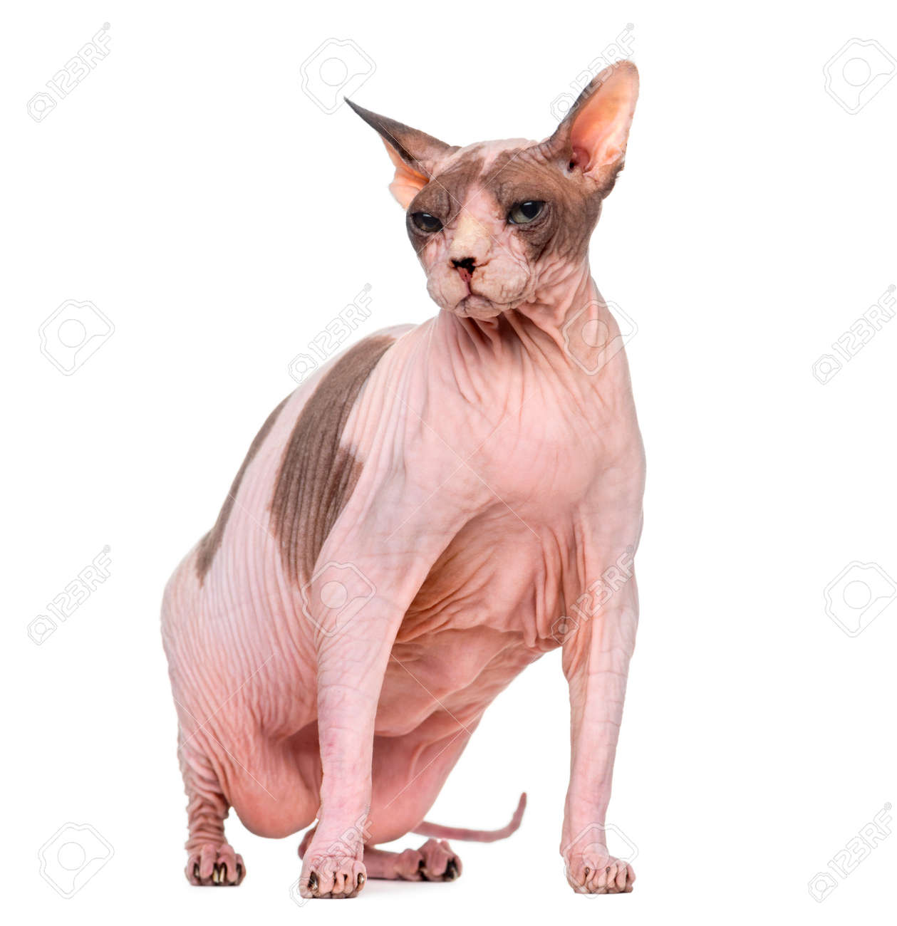 Fat And Pregnant Sphynx Sitting Isolated On White Stock Photo Picture And Royalty Free Image Image 52988090