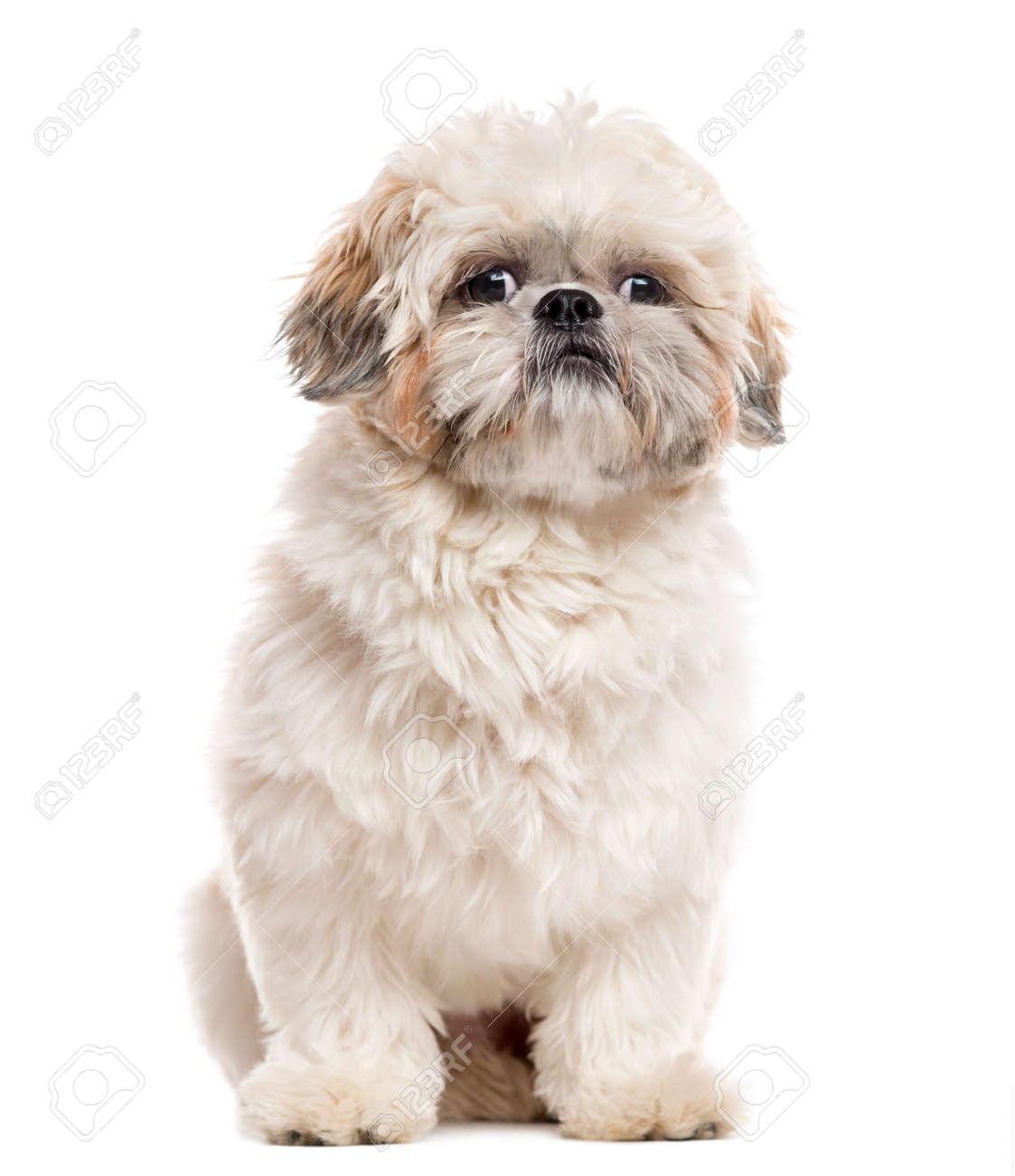 Shih Tzu Sitting And Looking Away Isolated On White 1 Year Stock