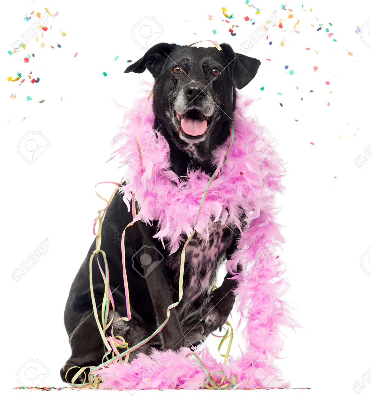 Crossbreed Dog Partying Isolated On White 8 Years Old Stock Photo