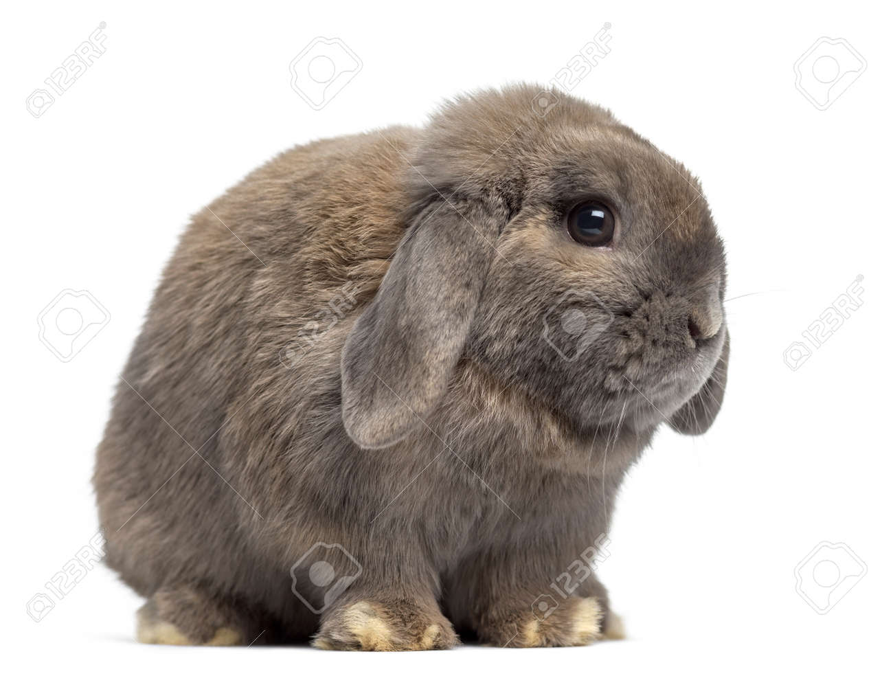 lop rabbit stock photos royalty free lop rabbit images and pictures