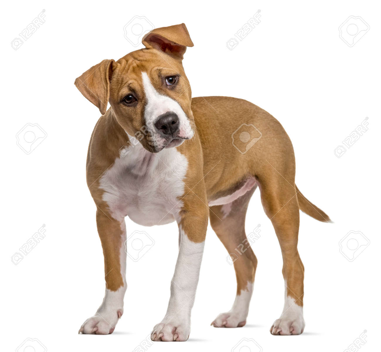 American Staffordshire Terrier puppy, 4 months old, isolated
