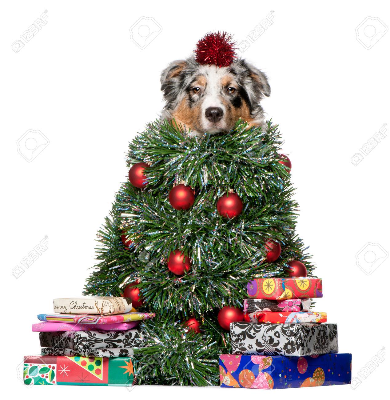 Australian Shepherd Christmas Ornament.Australian Shepherd Dog Dressed As Christmas Tree 7 Months Old