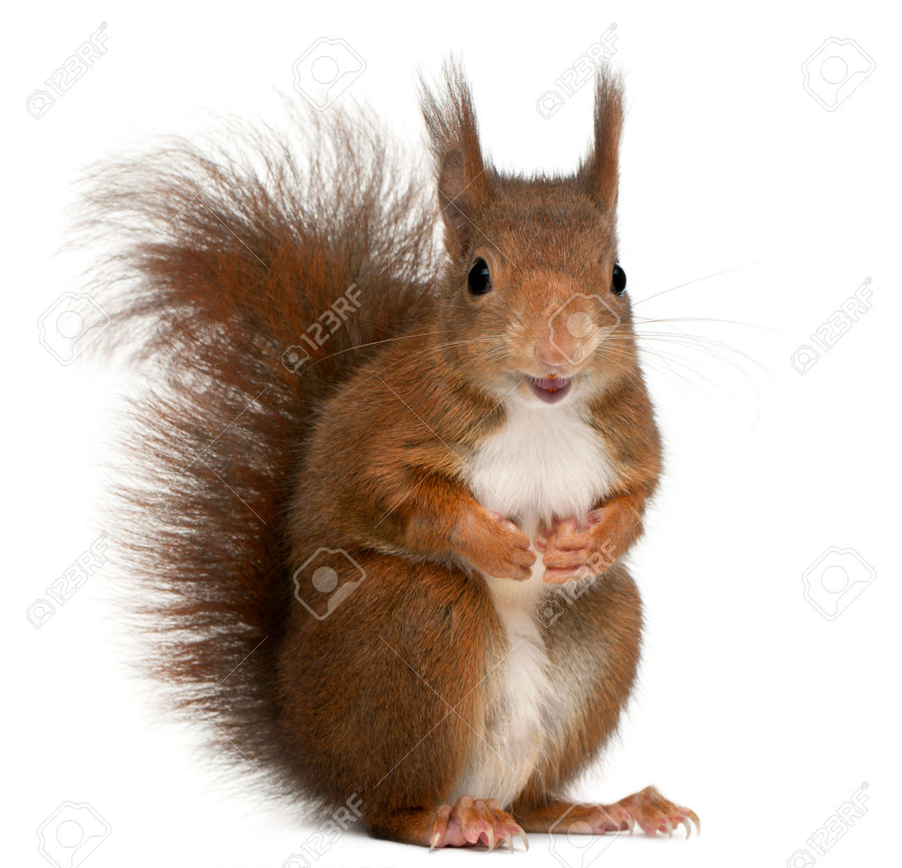 Eurasian red squirrel, Sciurus vulgaris, 4 years old, in front of white background - 89679804