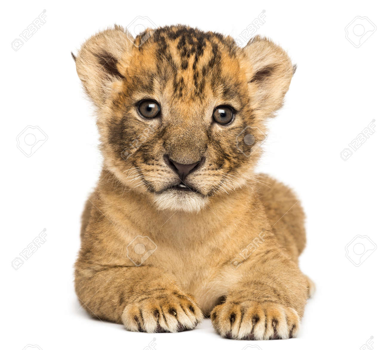Front view of a Lion cub lying down, 4 weeks old, isolated on white - 90243369