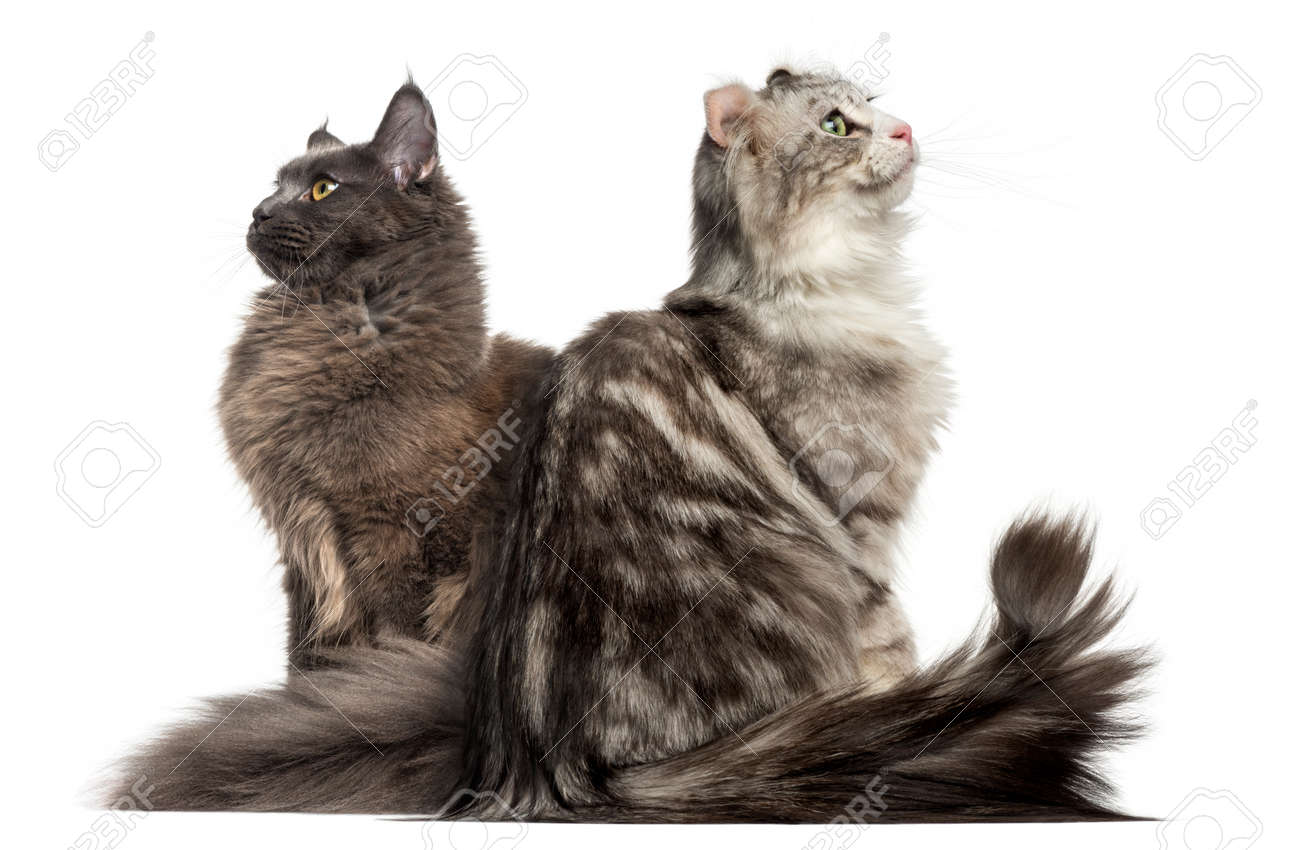 Two cats sitting back to back and looking up