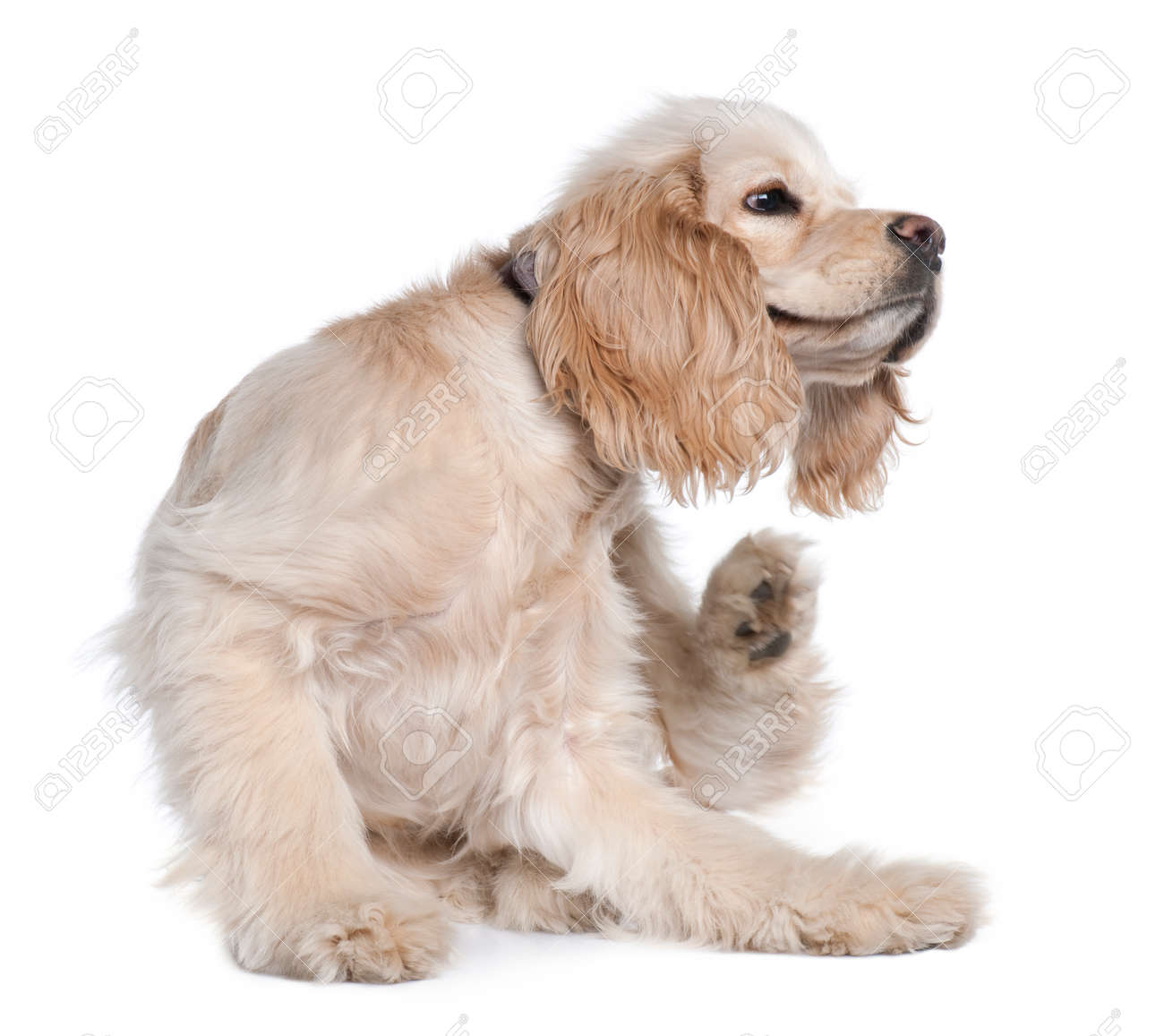 Young American Cocker Spaniel scratching, 9 months old, in front of white background - 90388273