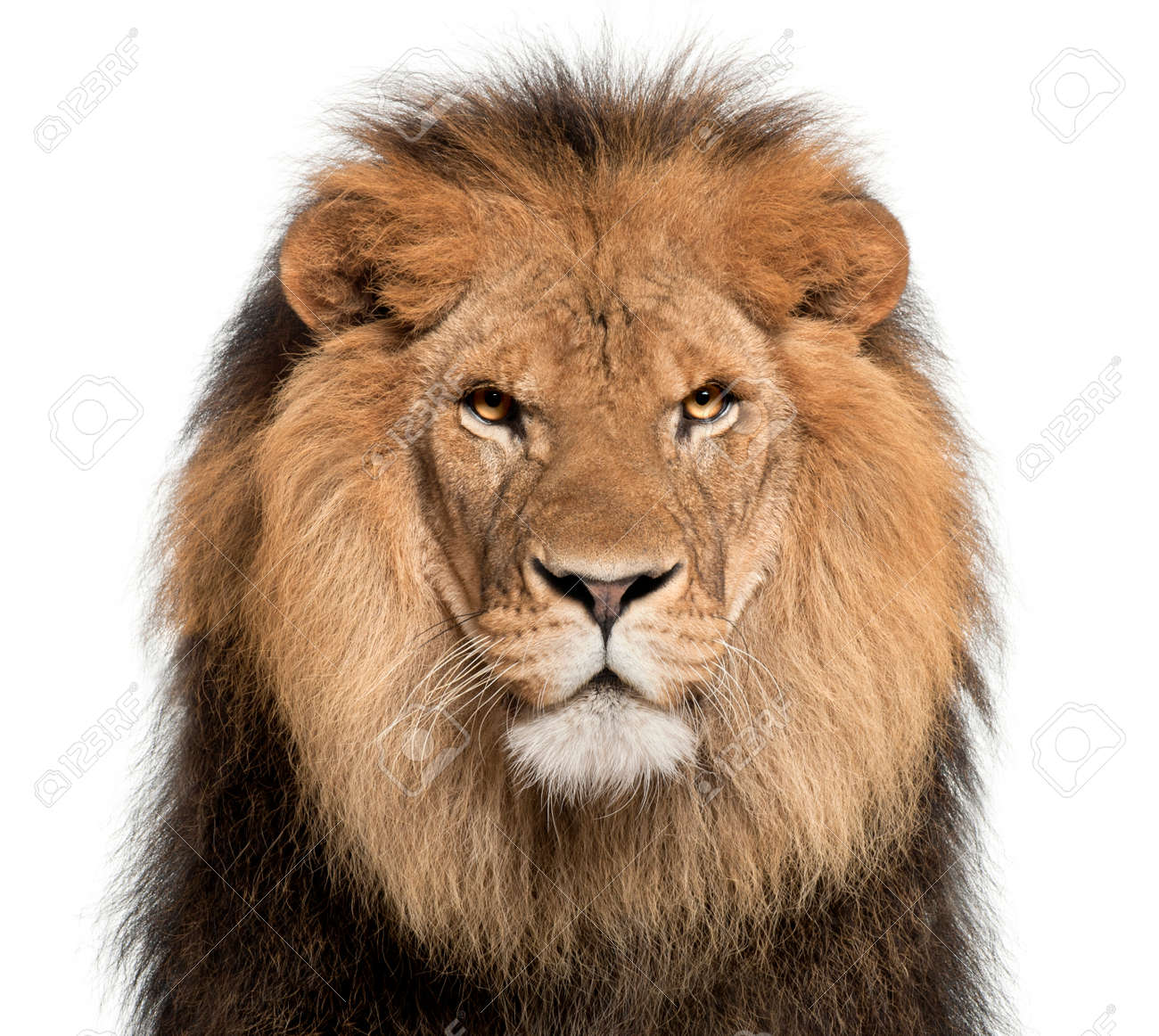 Close-up of lion, Panthera leo, 8 years old, in front of white background - 90387806