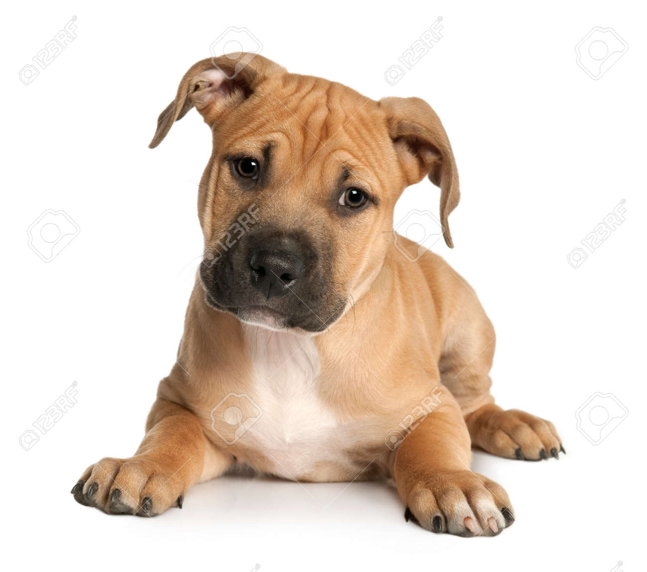 brown puppy American Staffordshire terrier puppy (9 weeks old) in front of  a white