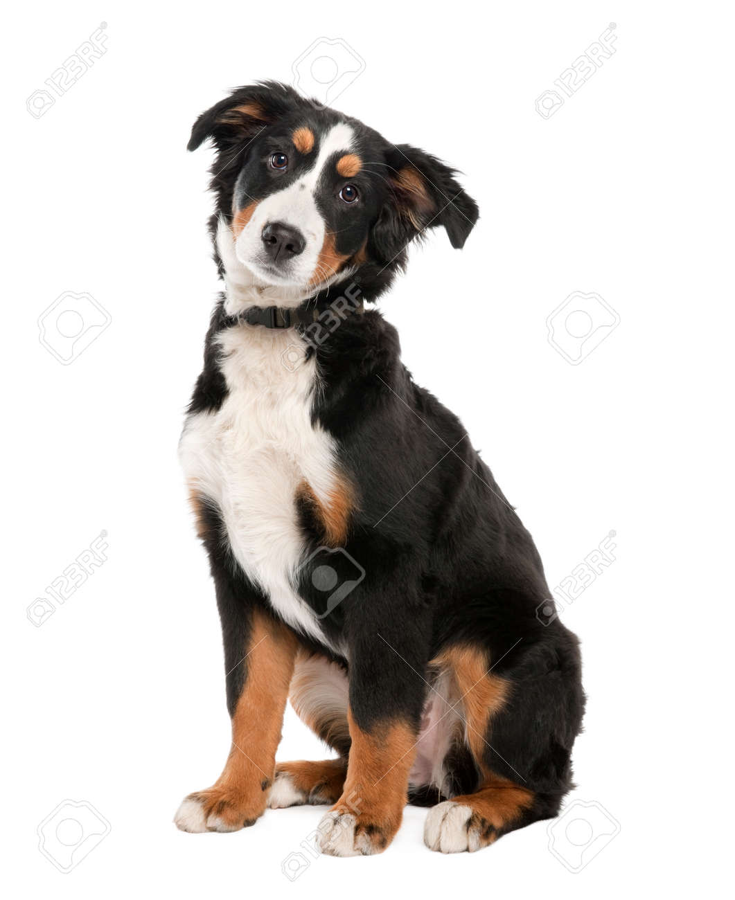 Bernese Mountain Dog Puppy 18 Weeks Old In Front Of A White