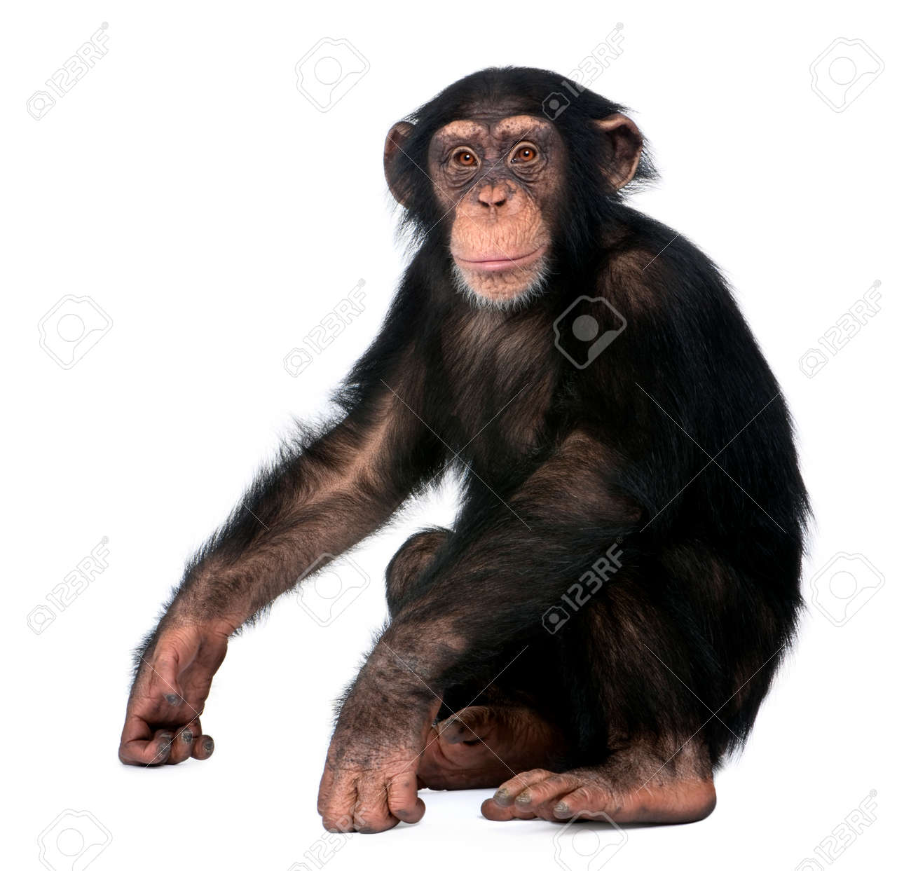 Young Chimpanzee, Simia troglodytes, 5 years old, sitting in front of white background - 90387636