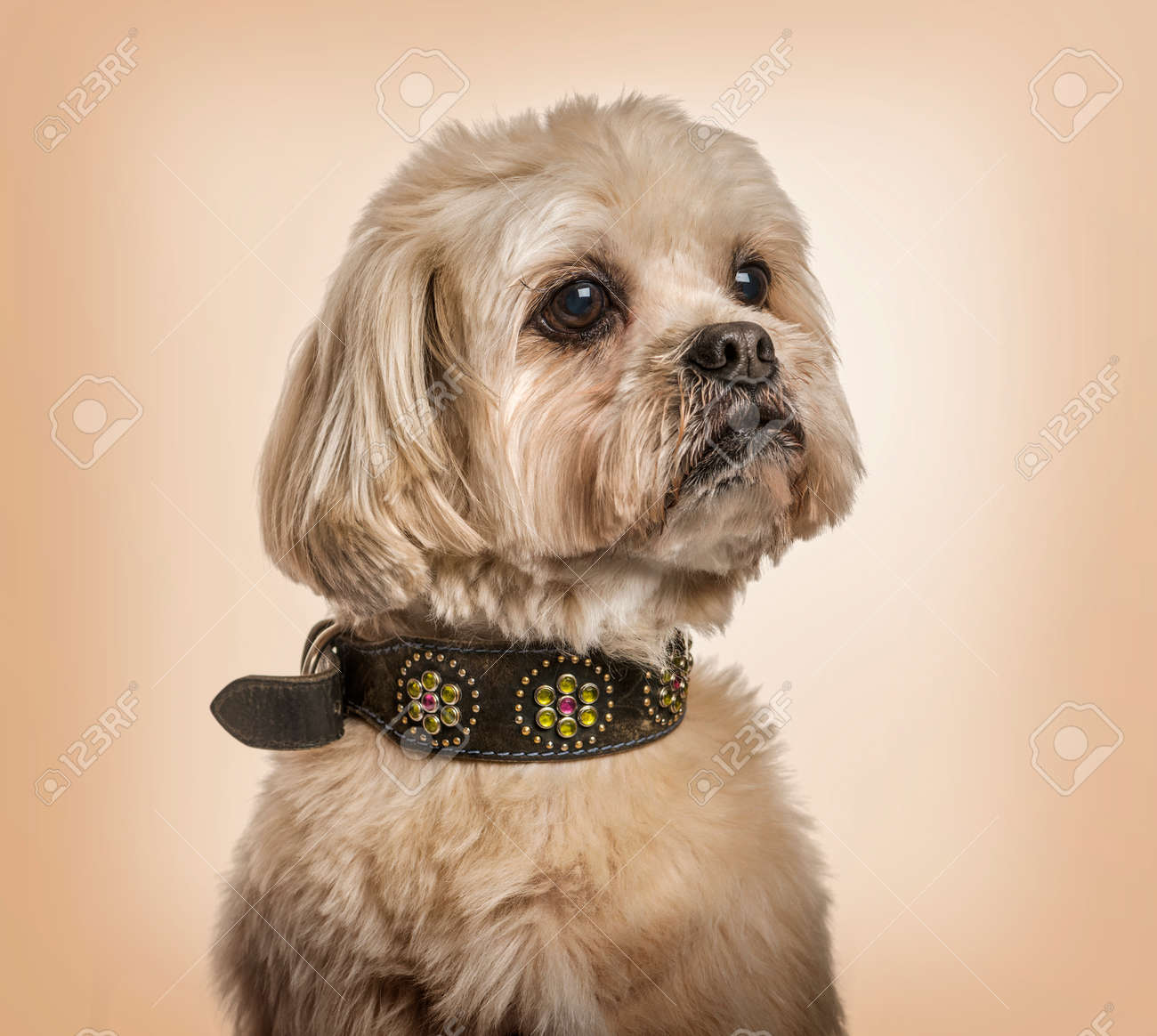Shih Tzu In Collar Looking Away Against Beige Background Stock Photo