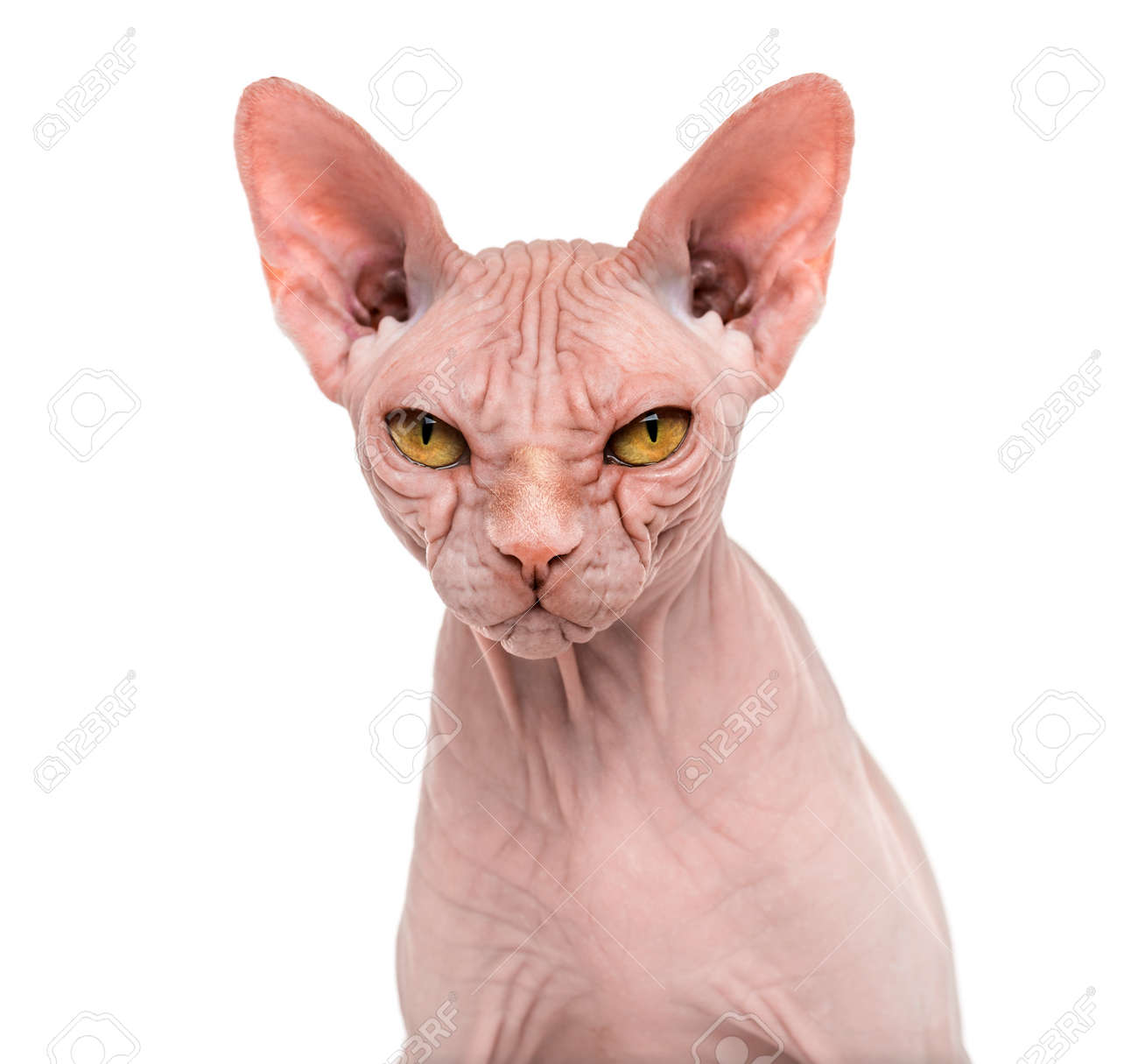 Sphynx, 4 years old, against white background - 94829571