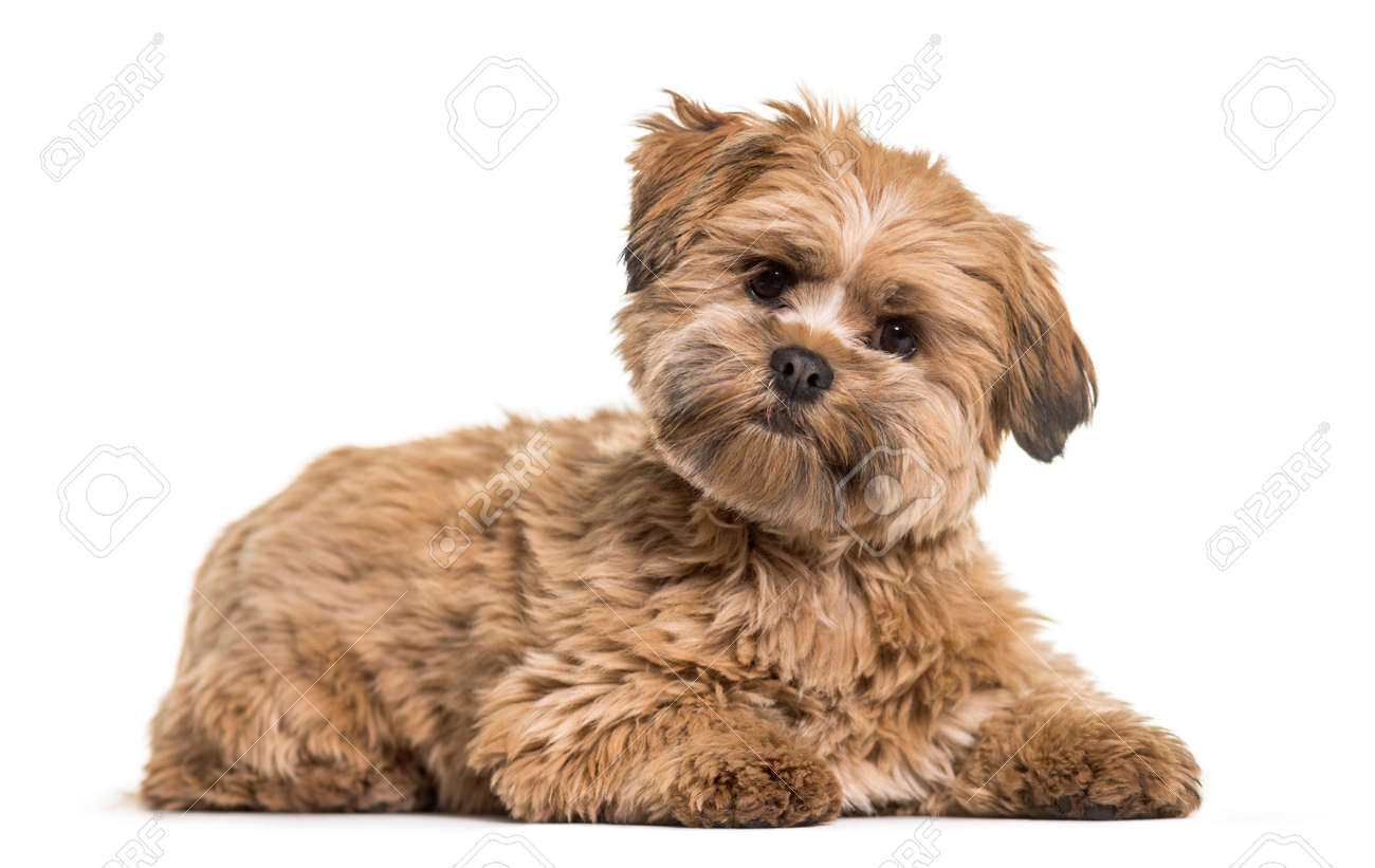lhasa apso dog 8 months old lying against white background