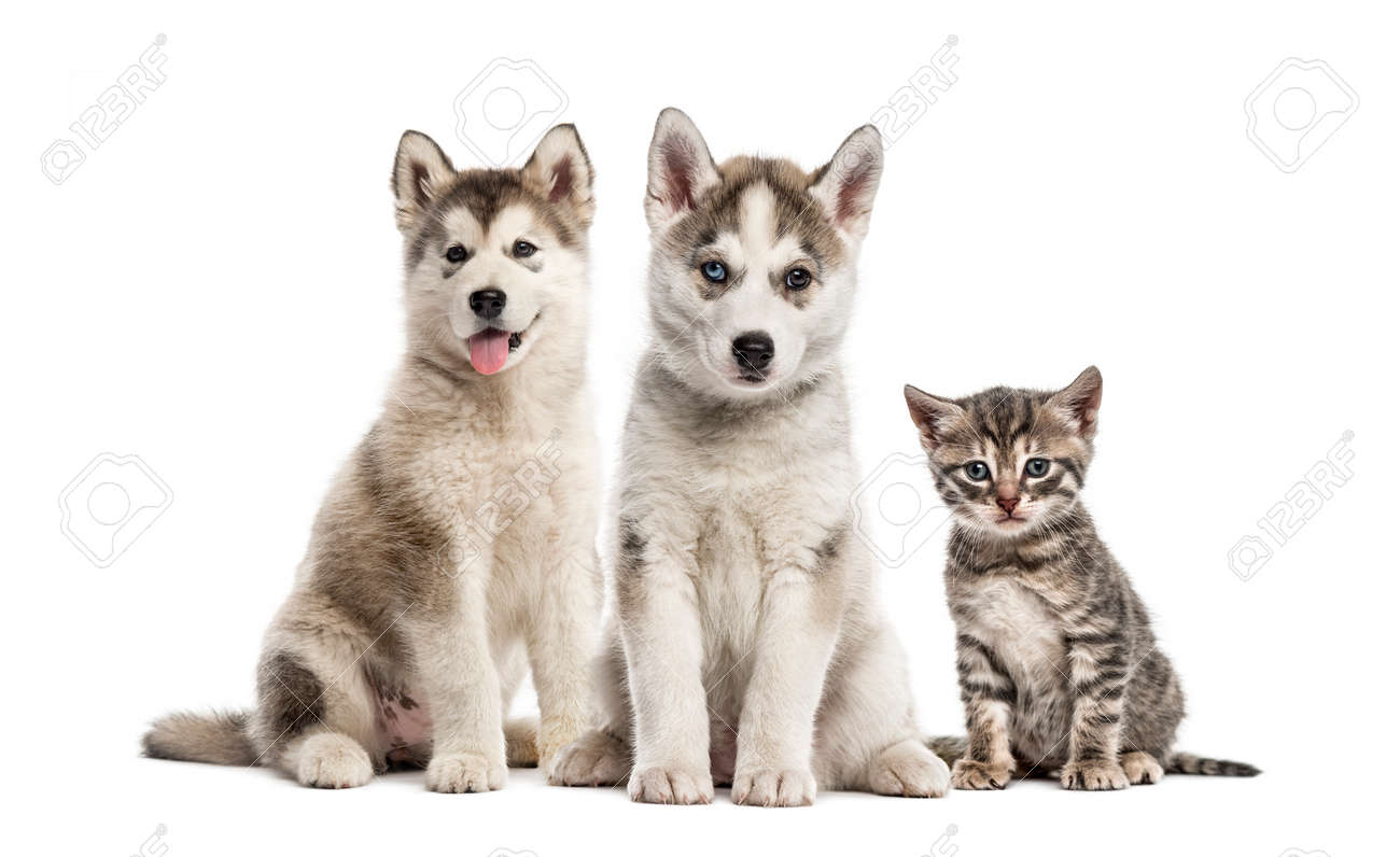 Groups Of Dogs Siberian Husky Puppy Alaskan Malamute Puppy Stock Photo Picture And Royalty Free Image Image 111458308
