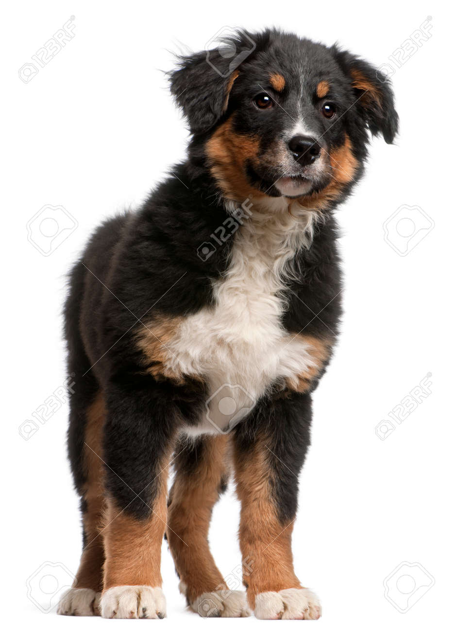 Bernese Mountain Dog Puppy 5 Months Old Standing In Front Of Stock Photo Picture And Royalty Free Image Image 110511912
