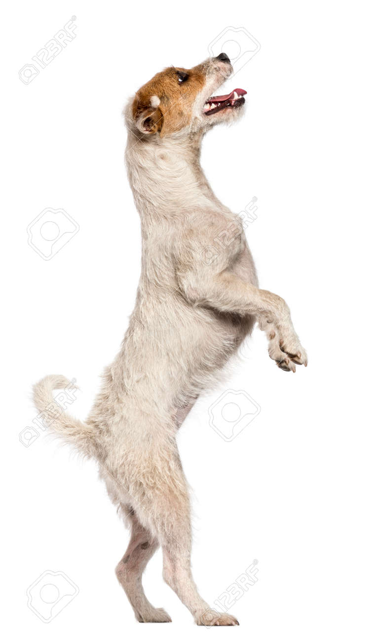 Parson Russell Terrier Standing On Hind Legs And Looking Up Against