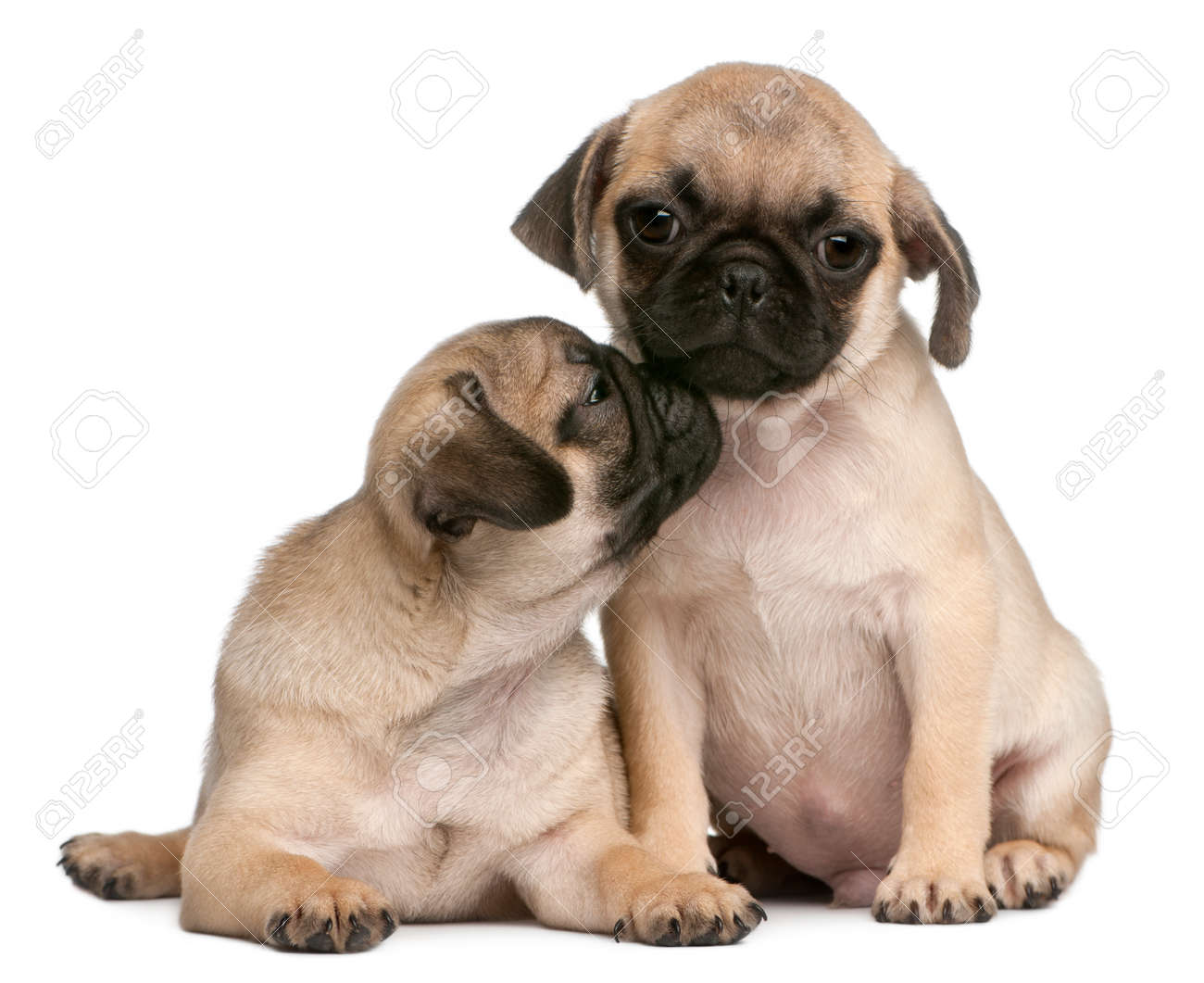 Two Pug Puppies 8 Weeks Old In Front Of White Background Stock Photo Picture And Royalty Free Image Image 110985645