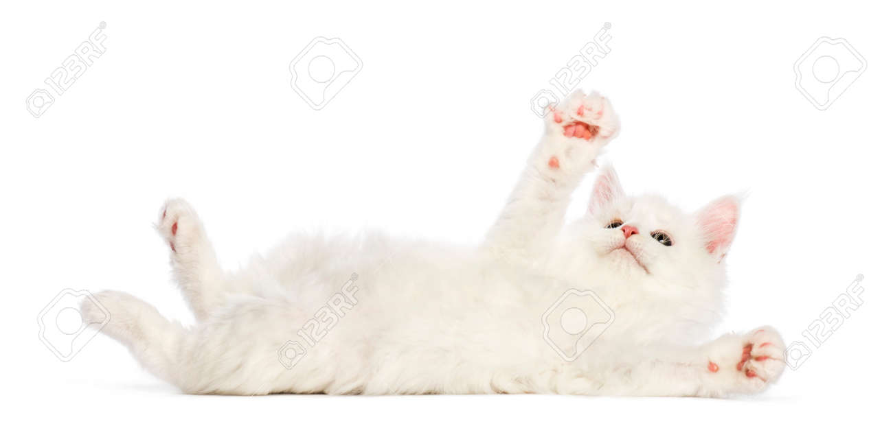Maine coon kitten, 8 weeks old, reaching out in front of white background - 110985730