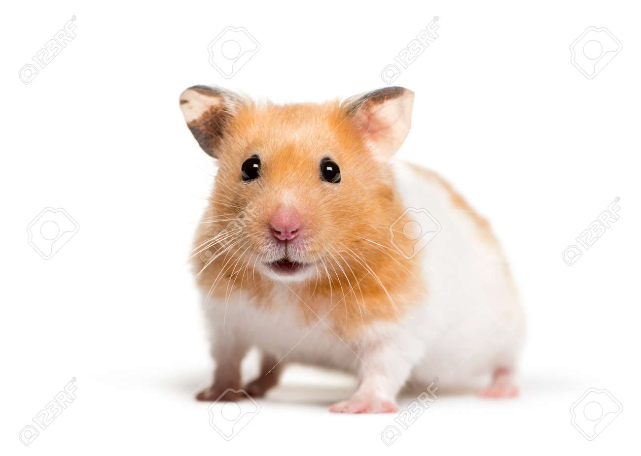 Golden Hamster in front of white background - 121567487
