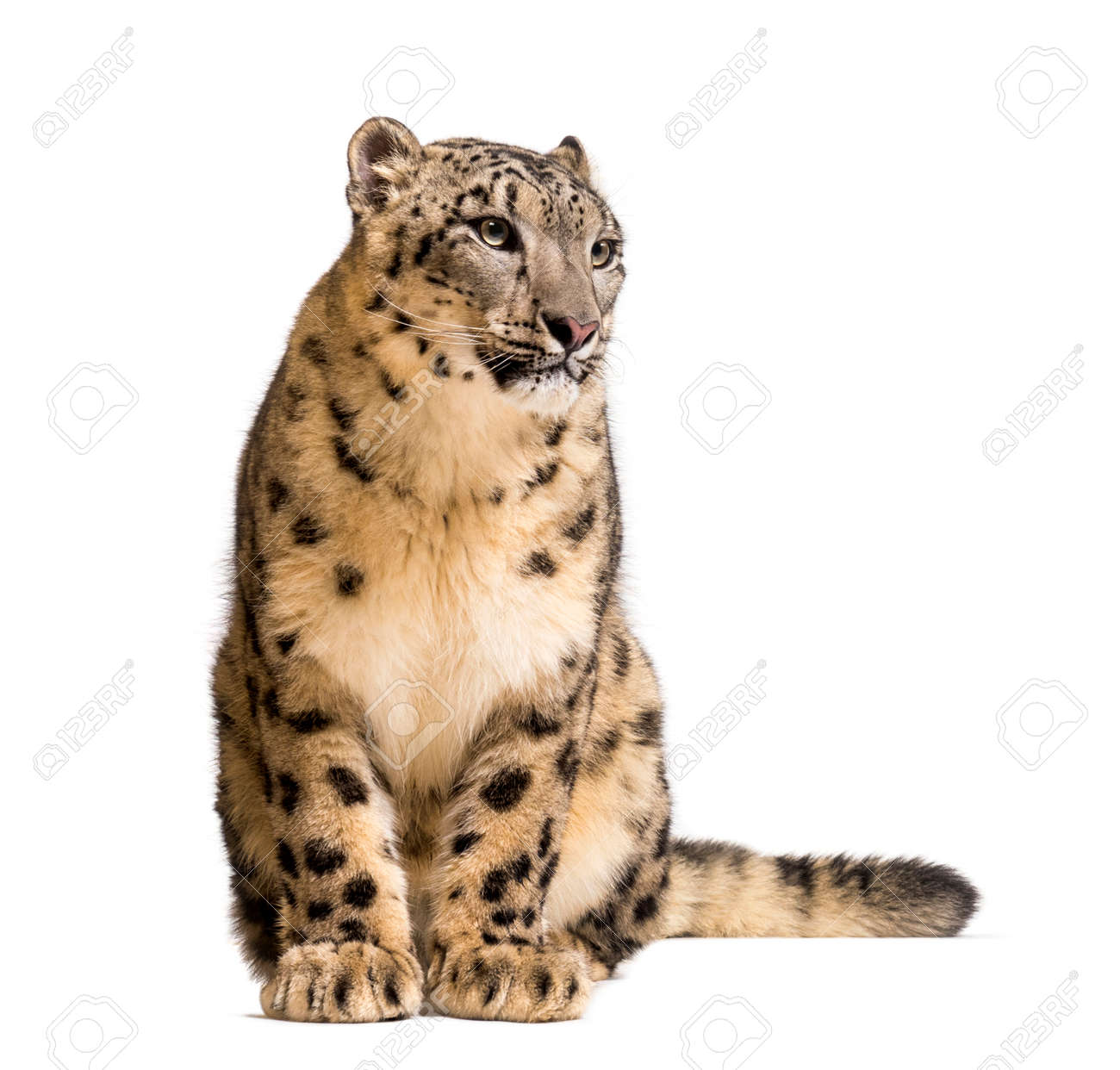Snow leopard, Panthera uncia, also known as the ounce sitting against white background - 144446338