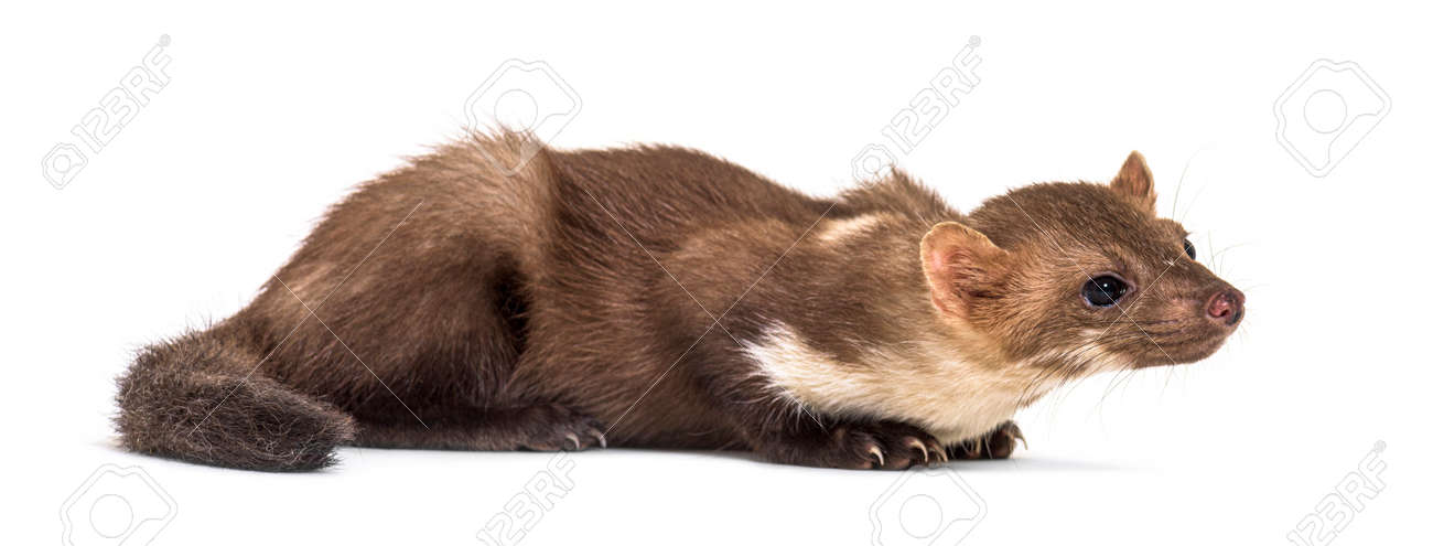 Side view of a Pine marten, isolated on white - 171048519