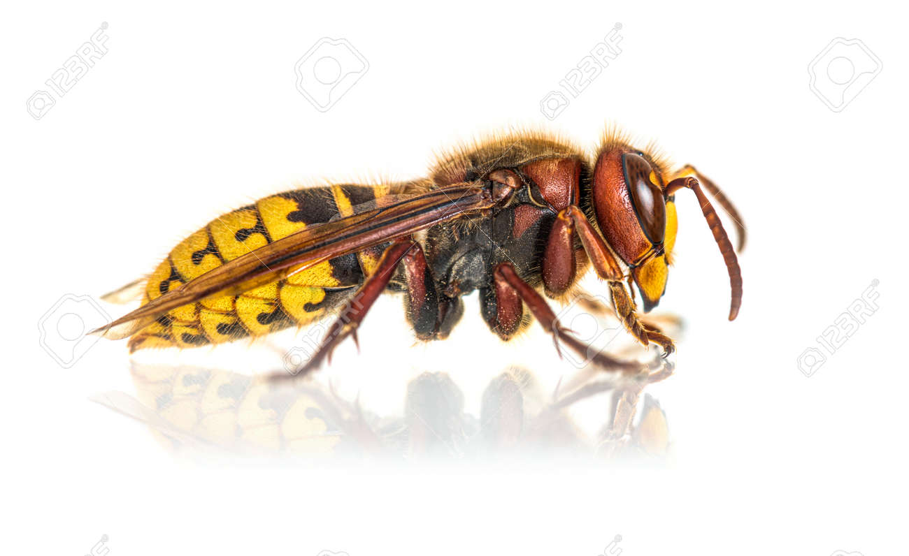 Side view, profile, Hornet, Vespa Crabro, isolated on white - 171048713