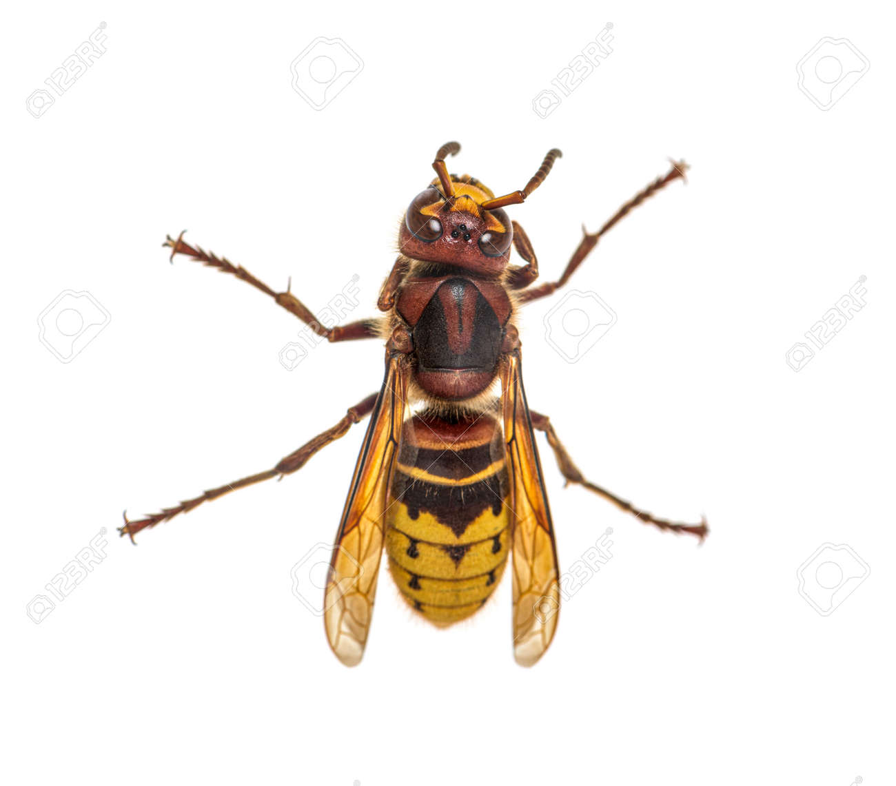 Top view of a Hornet, Vespa Crabro, isolated on white - 171048716