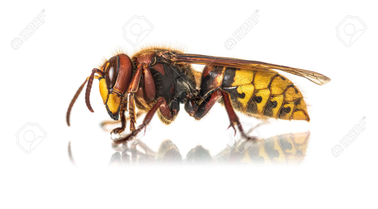 Side view of a Hornet, Vespa Crabro, isolated on white - 171048722
