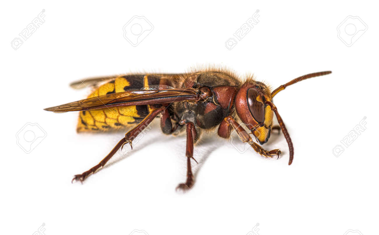 Side view, profile, Hornet, Vespa Crabro, isolated on white - 171048726