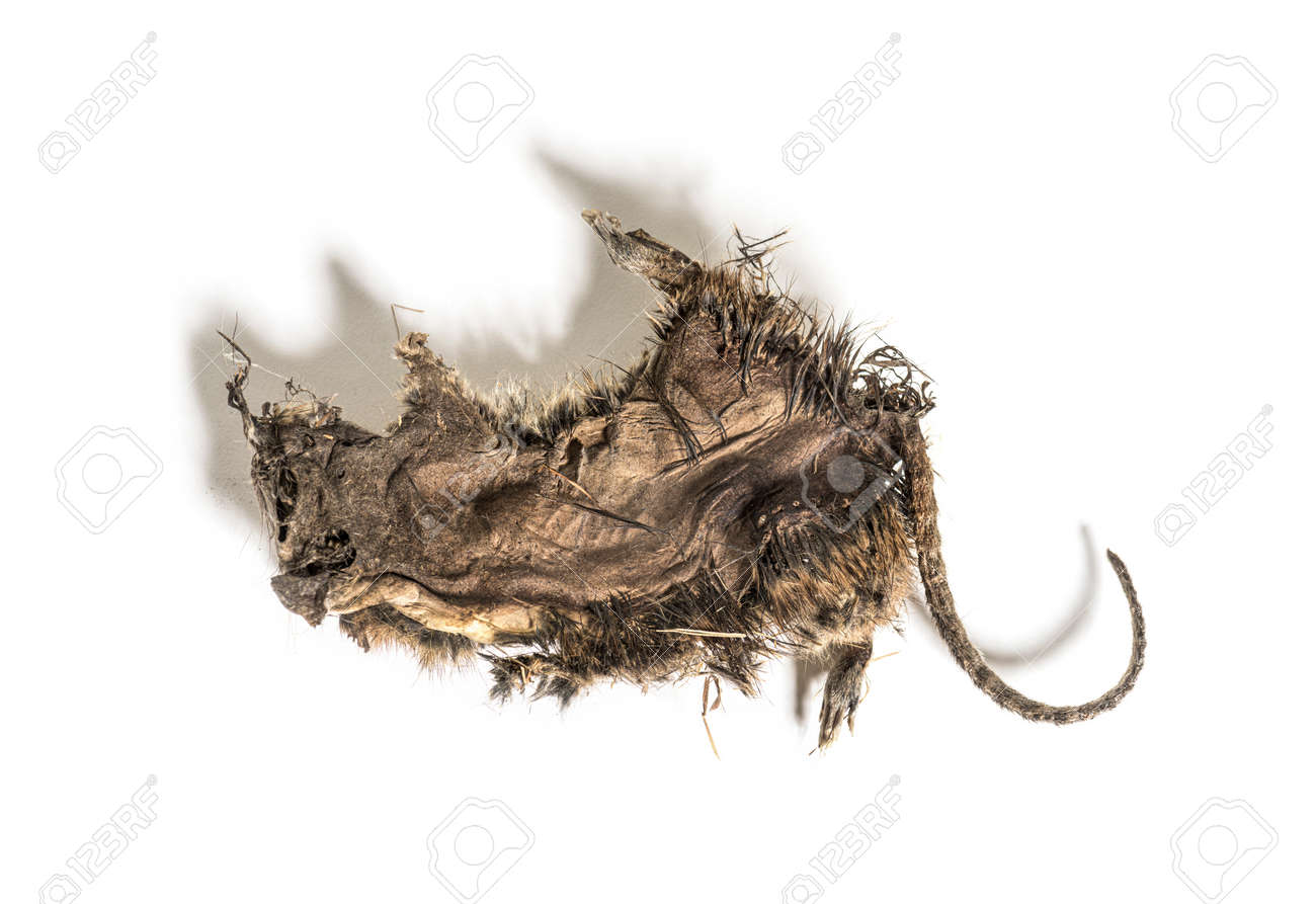 Dry rat In state of decomposition, isolated on white - 171048727