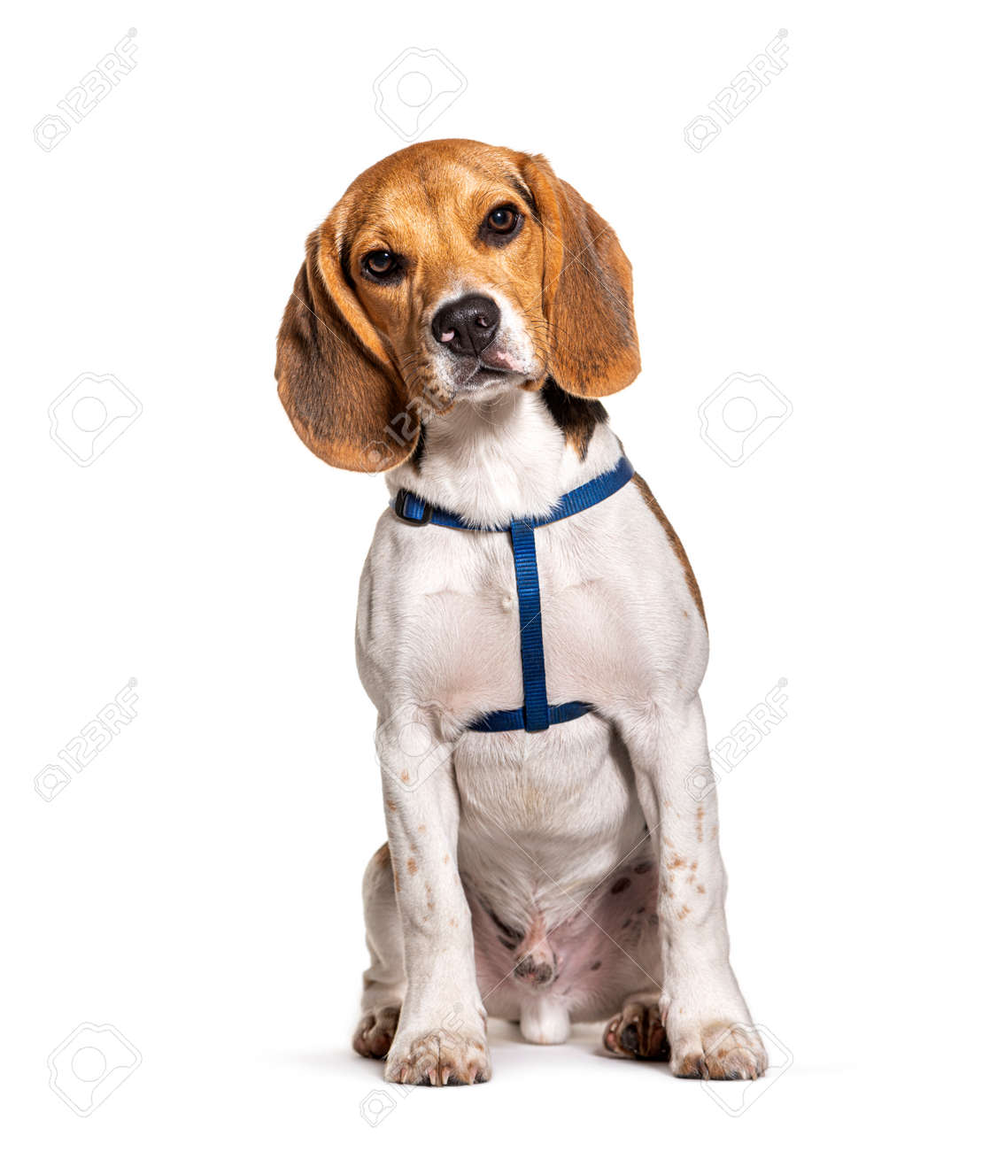 Beagle wearing an harness isolated on white - 171048729