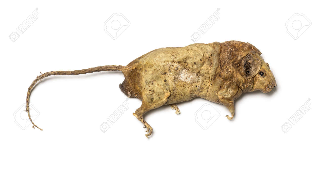 Dead rodent, Rat in state of decomposition, isolated. Pest animal - 171048964