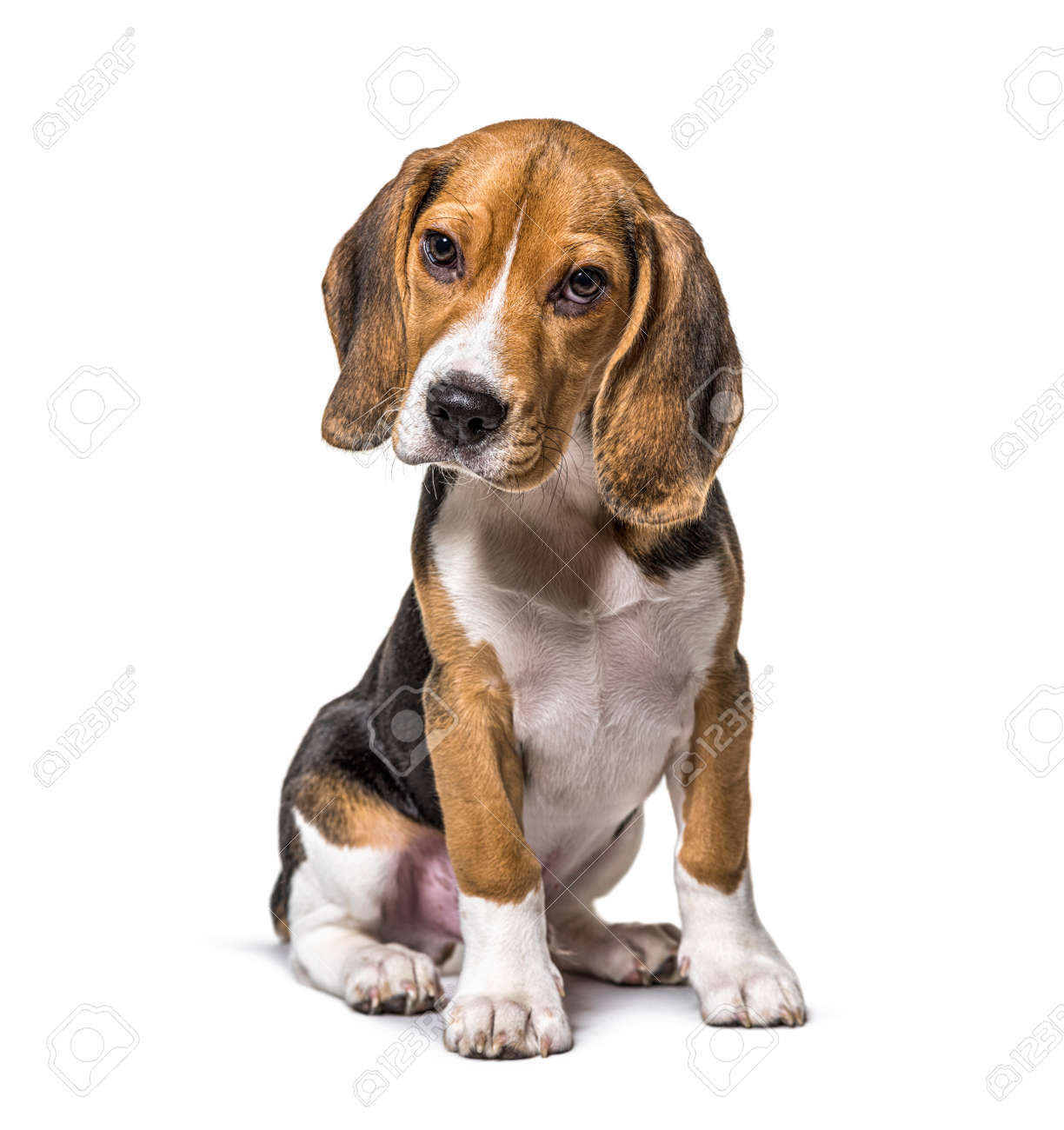Young puppy three months old Beagles dog sitting, isolated - 171048973