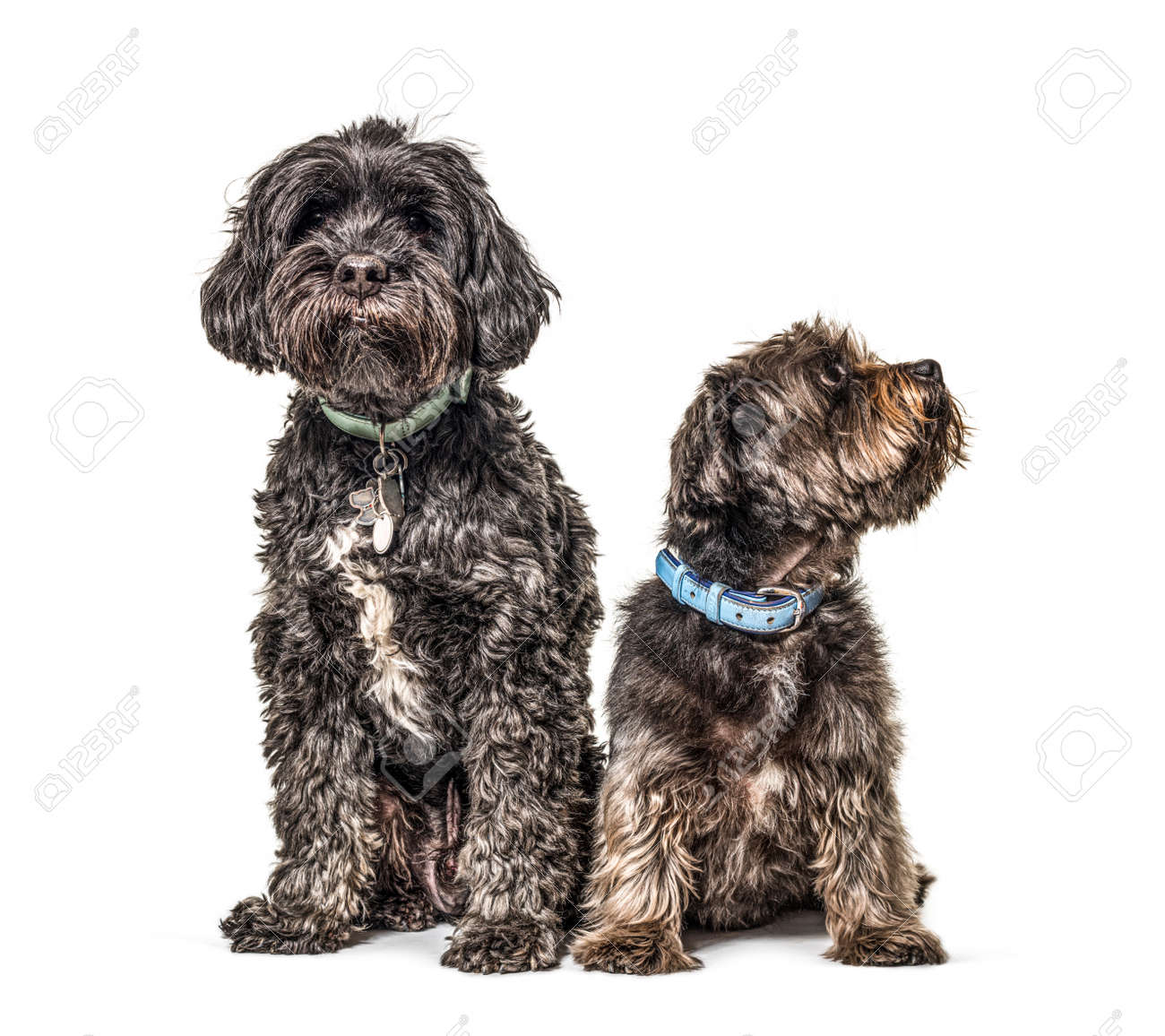 Two crossbreed dogs wearing a blue collar sitting, isolated - 171048977