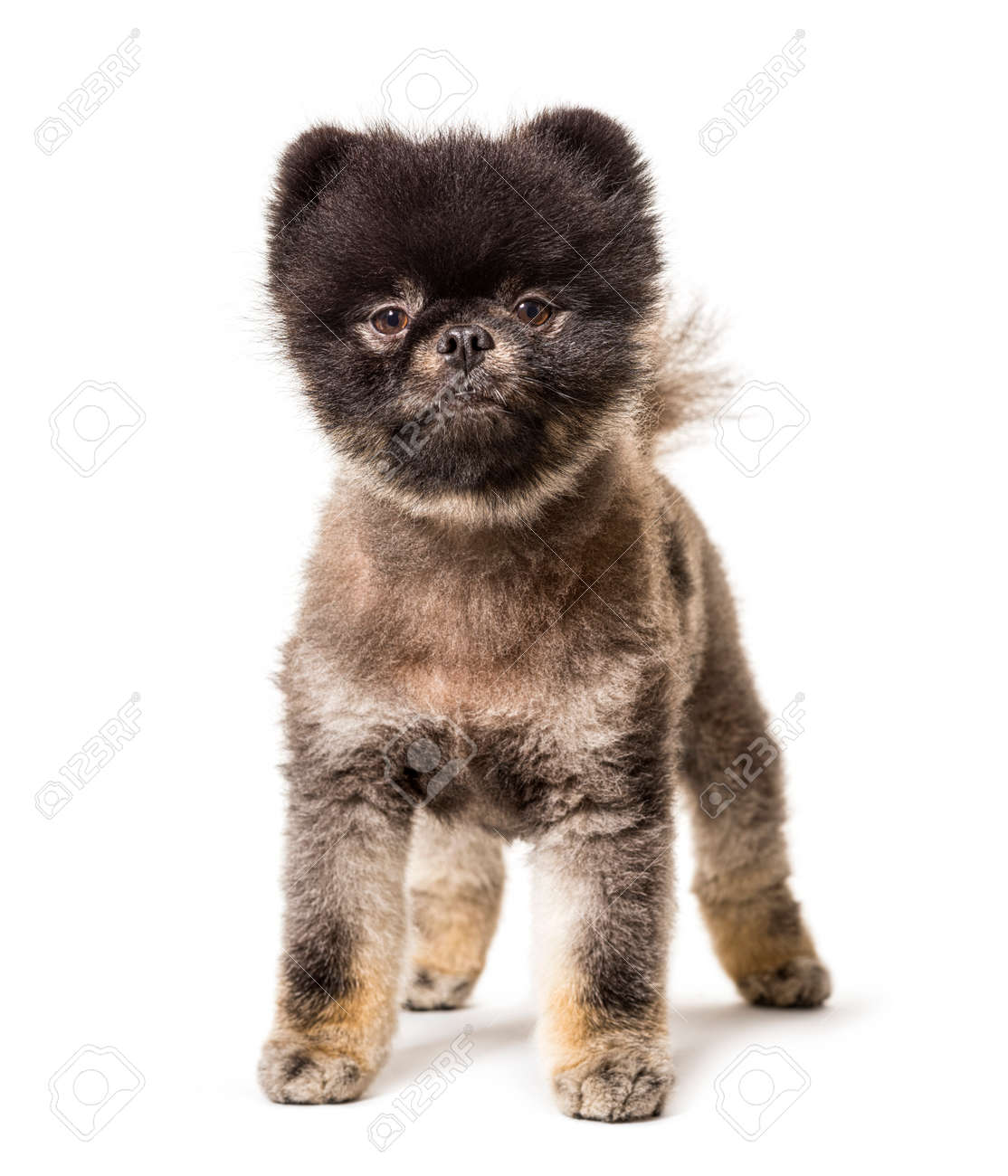 Brown and Black groomed spitz dog standing on a white background - 171049276