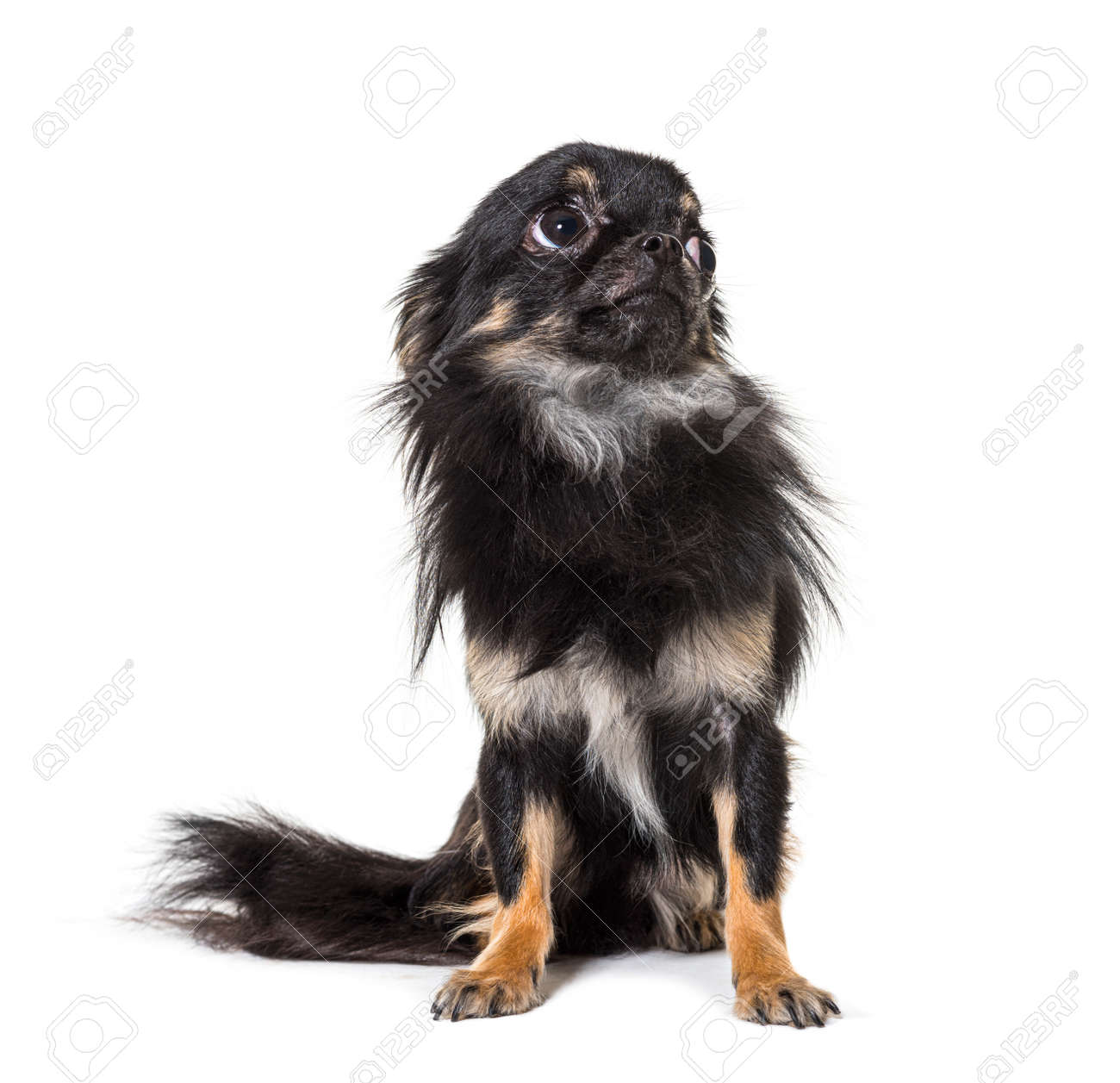 Black Worried sitting Chihuahua looking up, isolated - 171049280